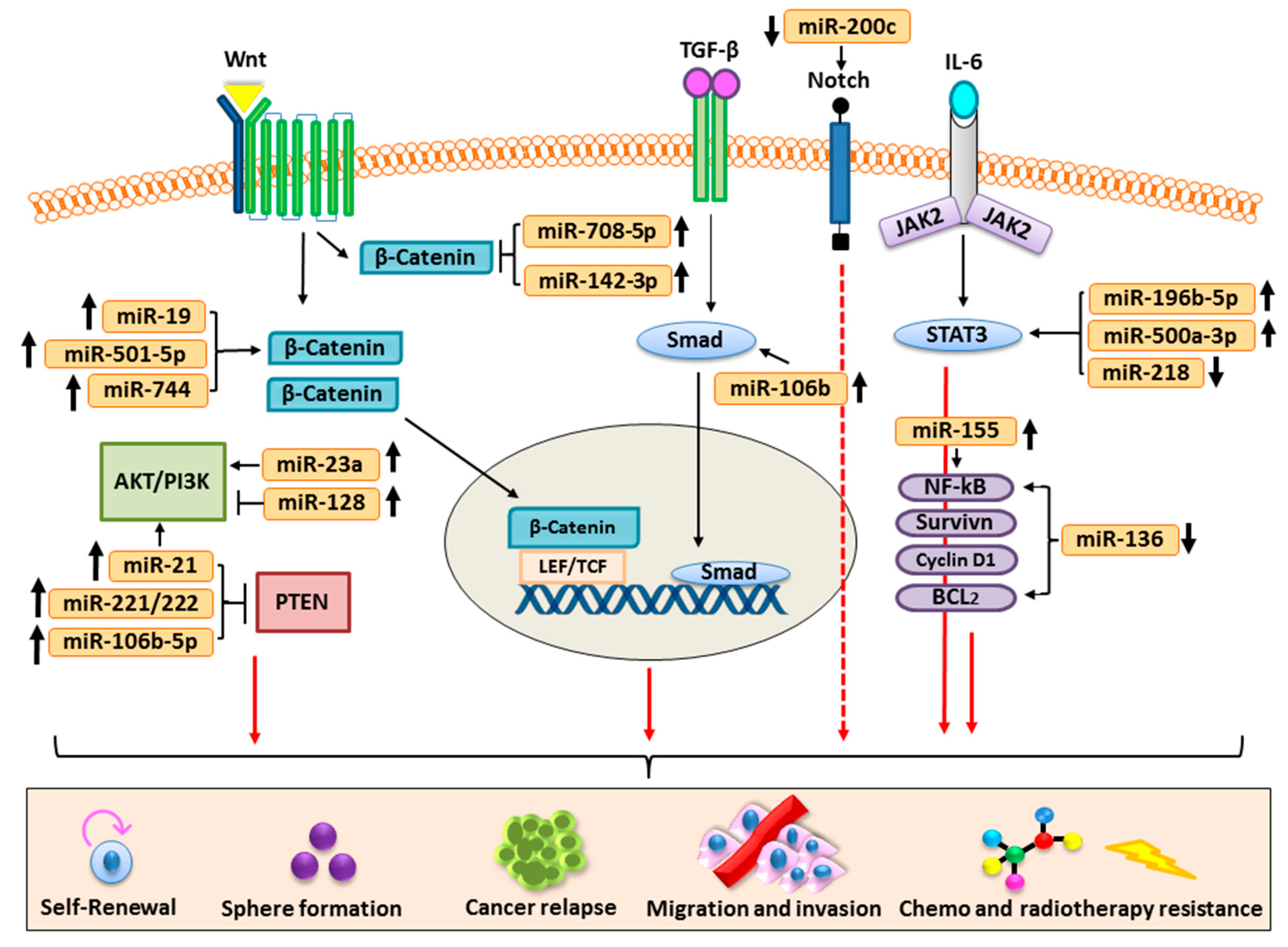 Cells | Free Full-Text | Role of miRNA-Regulated Cancer Stem