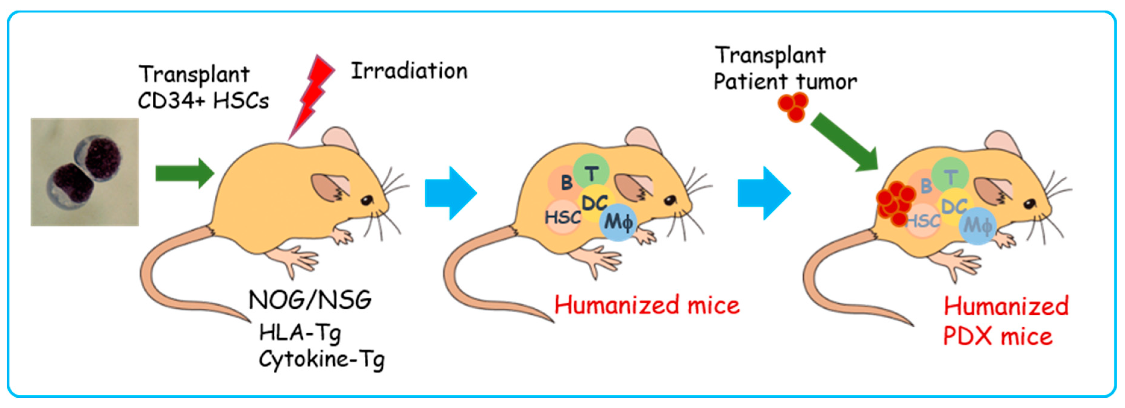 Cells Free Full Text Application Of Highly Immunocompromised Mice For The Establishment Of Patient Derived Xenograft Pdx Models Html