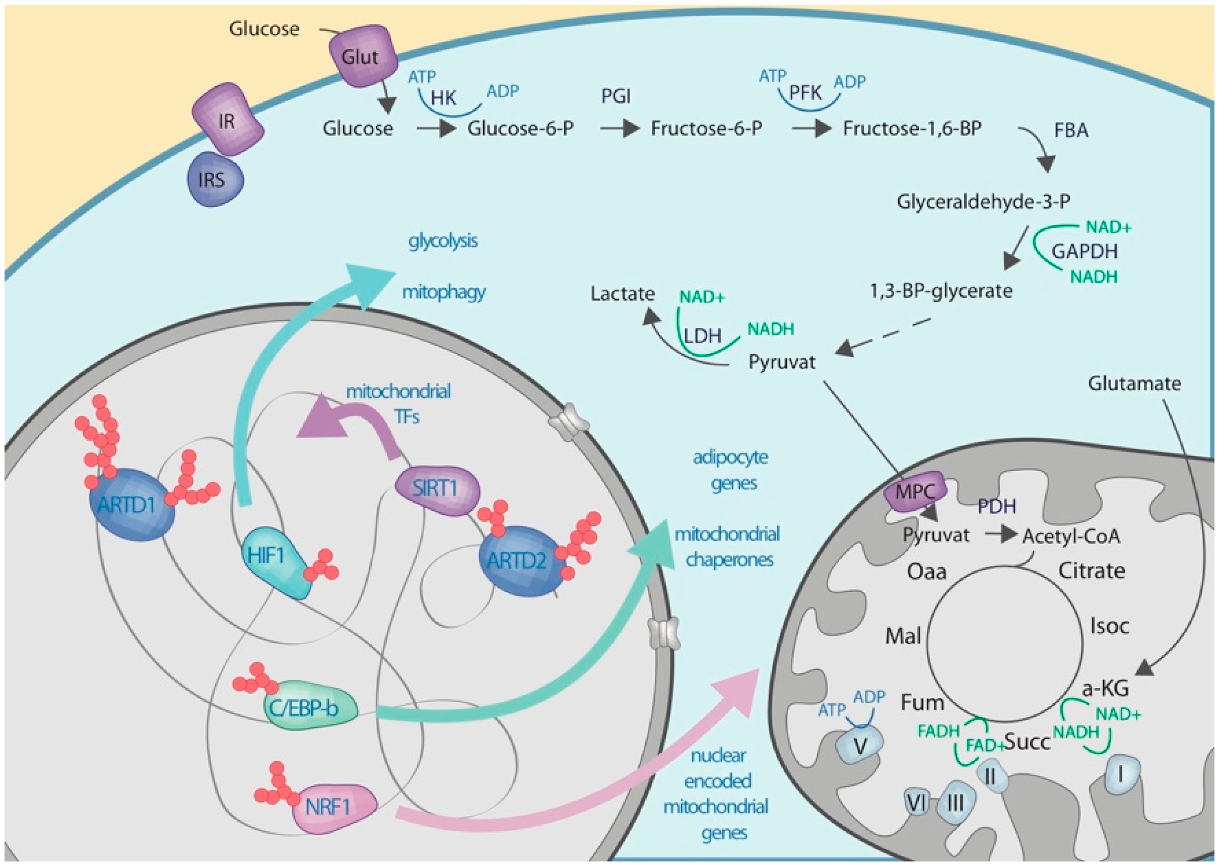 Cells | Free Full-Text | Regulation of Glucose Metabolism by