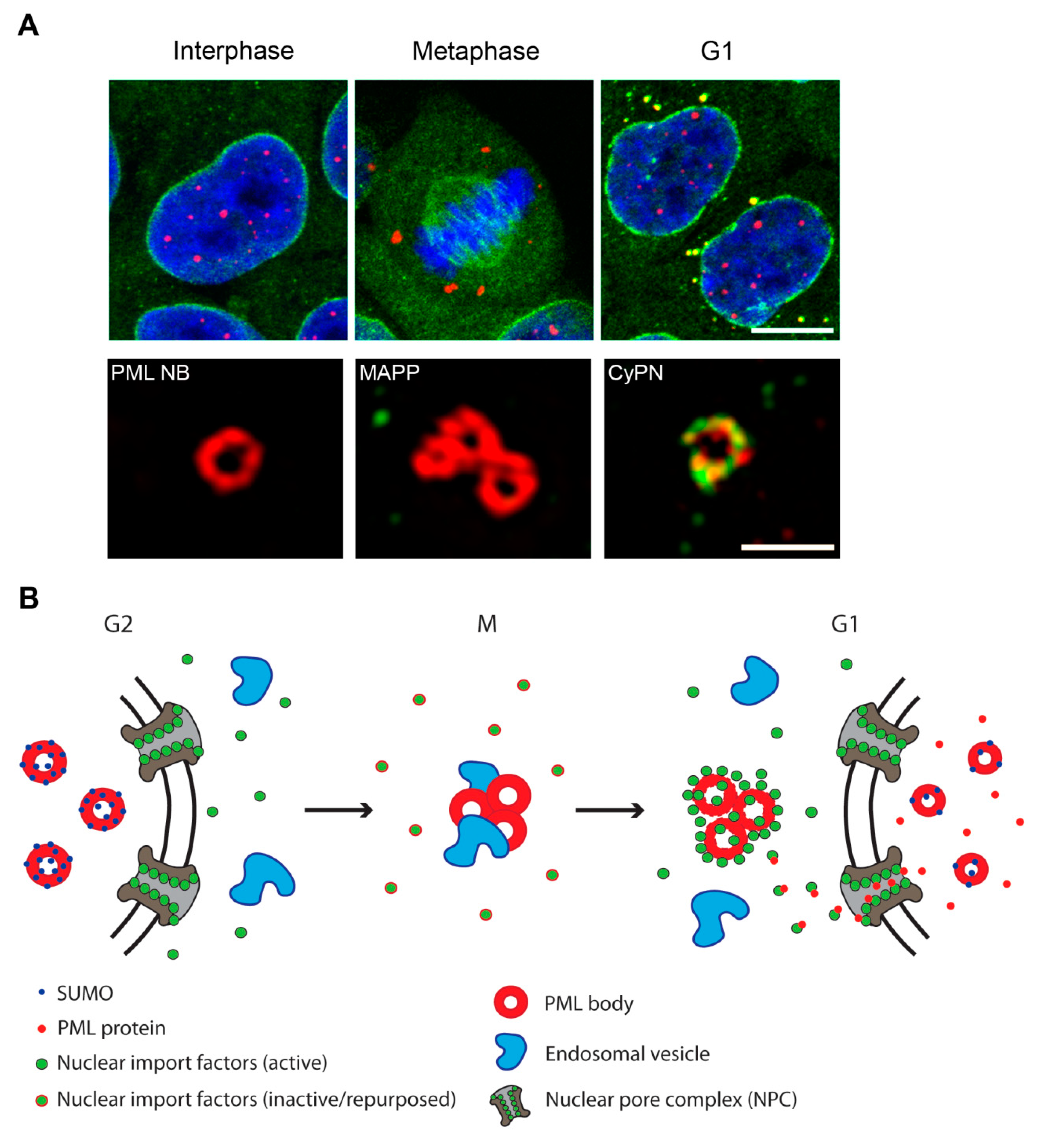 Cells | Free Full-Text | PML Bodies in Mitosis