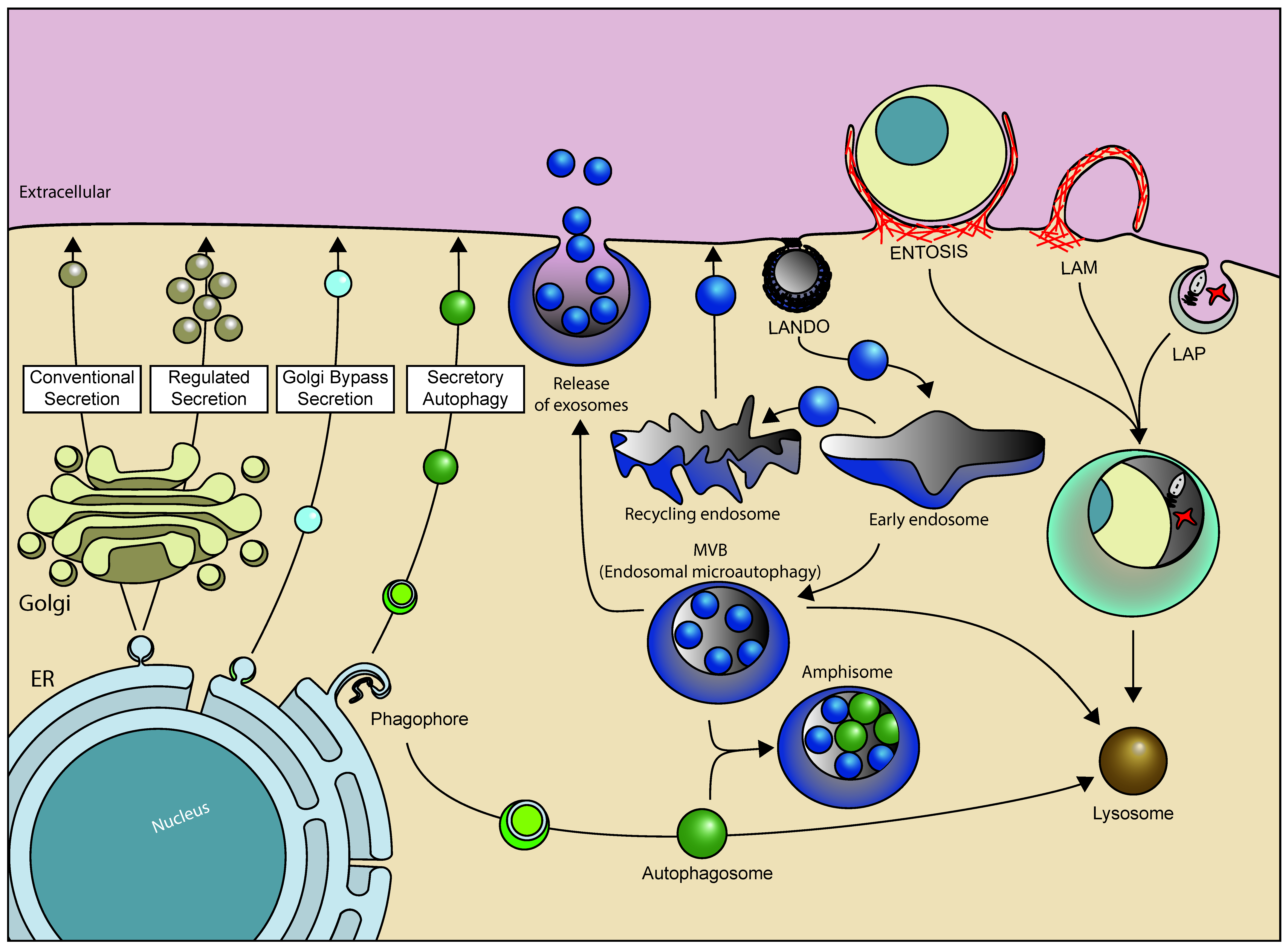 Cells Free Full Text Mechanisms And Pathophysiological Roles