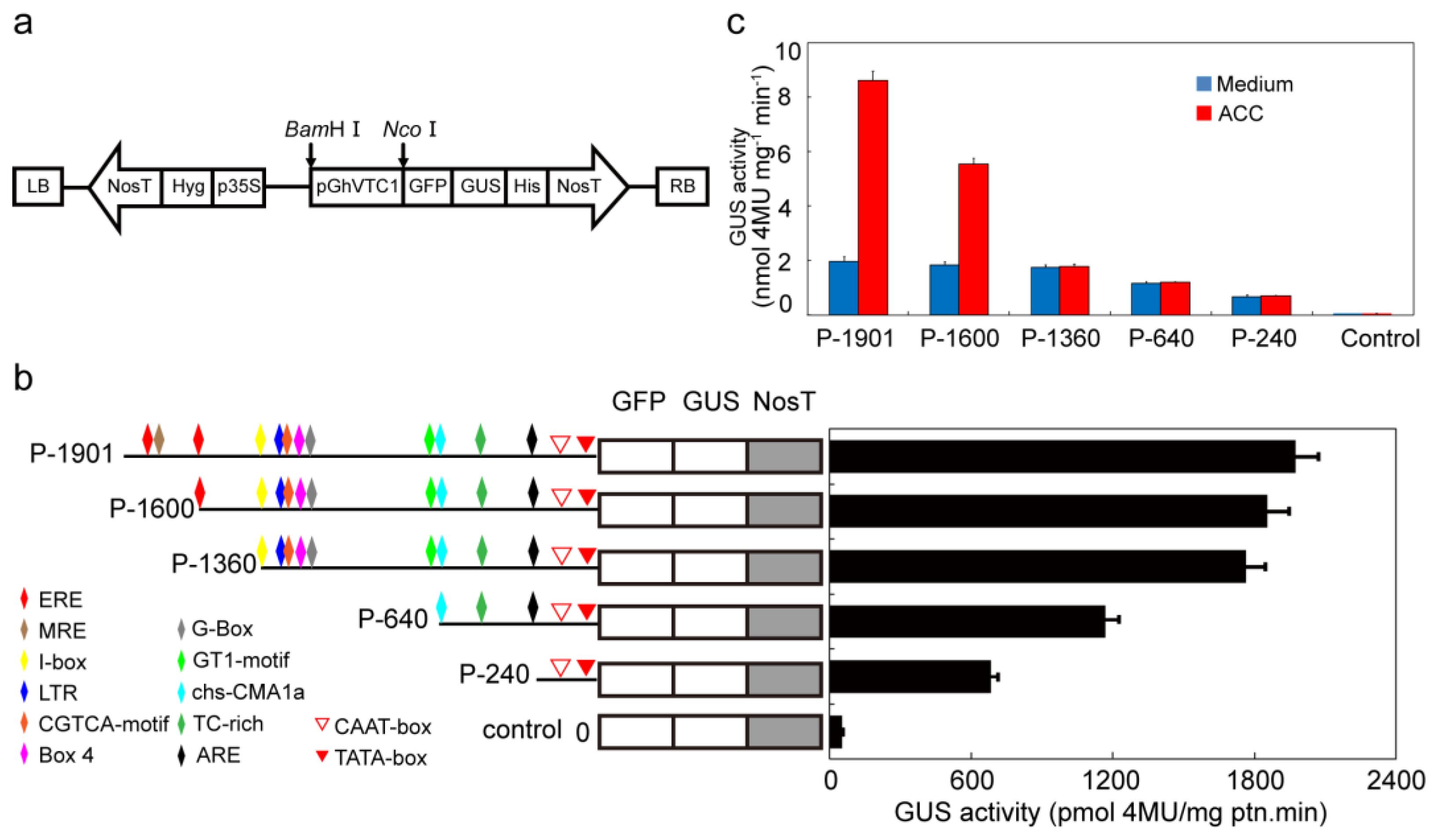 Cells | Free Full-Text | GhVTC1, the Key Gene for Ascorbate