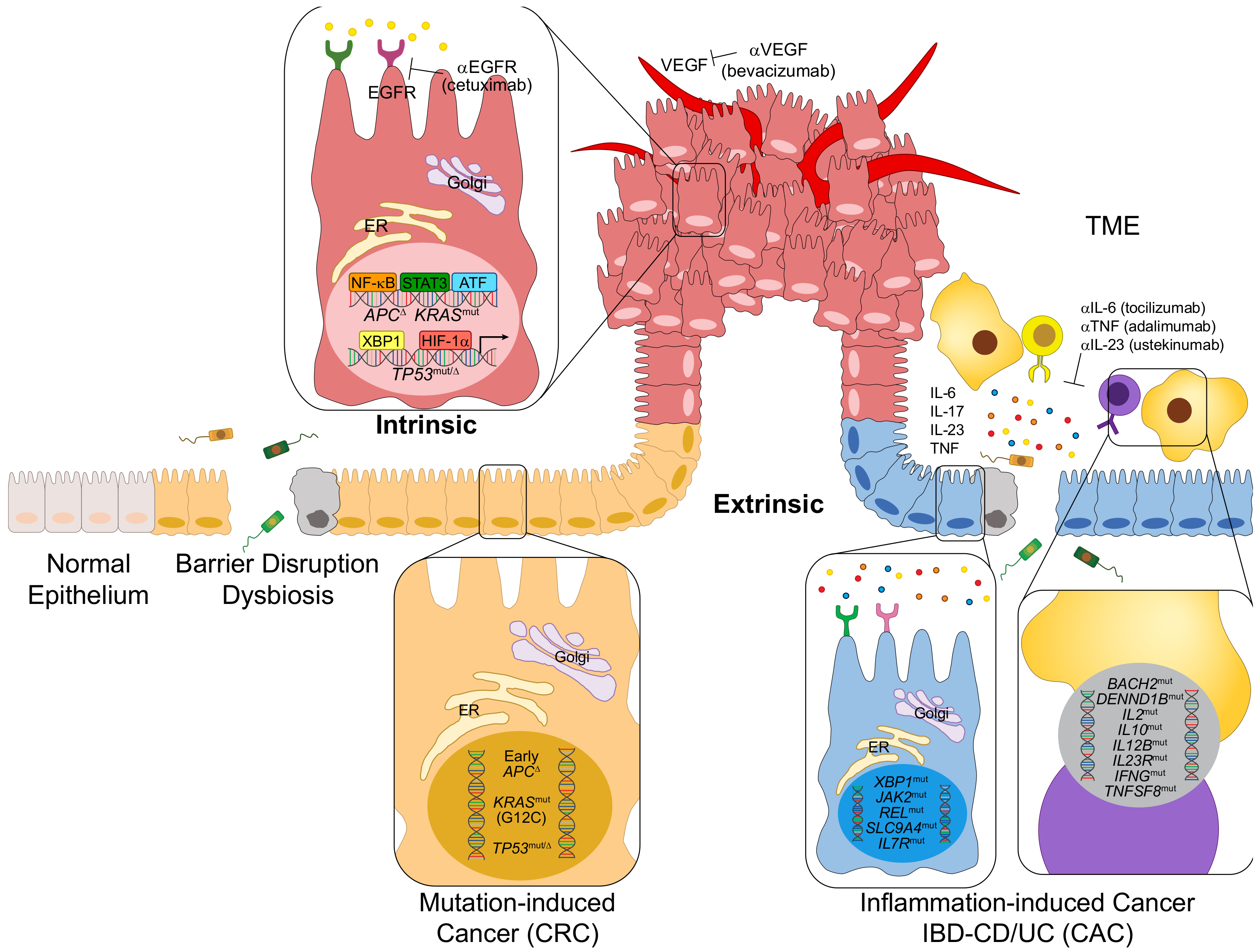 Cells Free Full Text Immunotherapy Inflammation And Colorectal Cancer