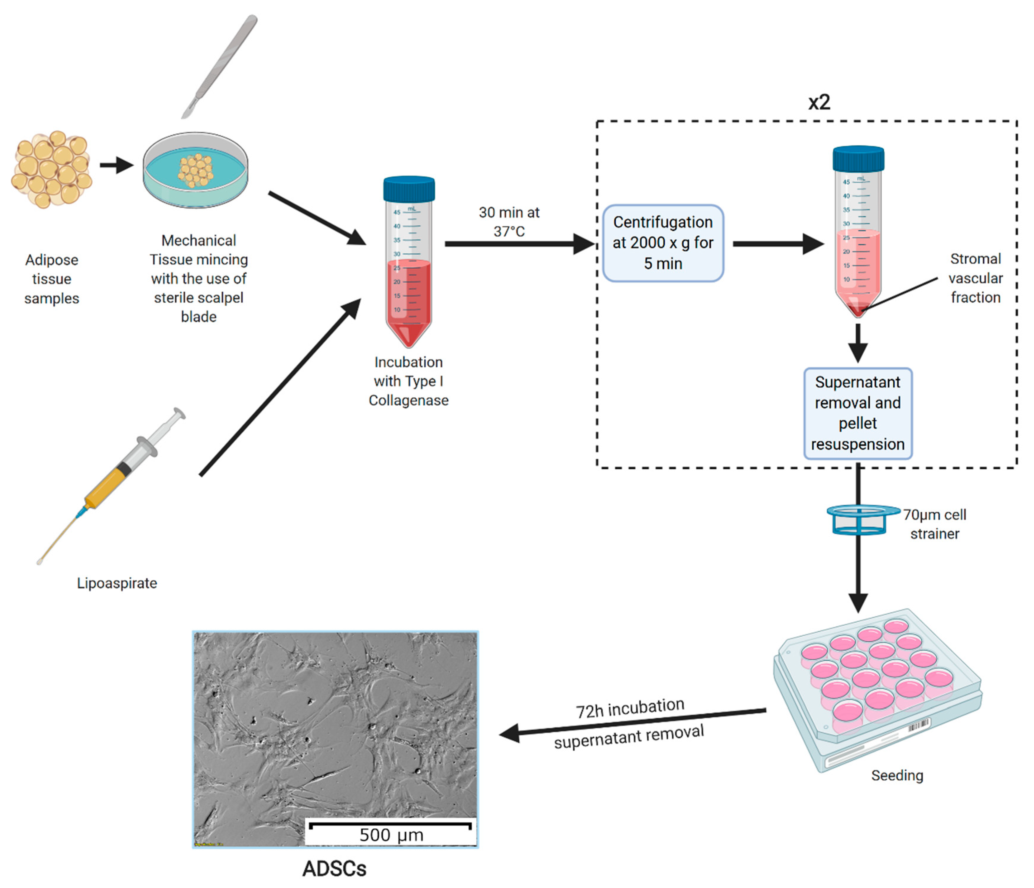 Cells Free Full Text In Vitro Cultures Of Adipose Derived Stem Cells An Overview Of Methods Molecular Analyses And Clinical Applications Html