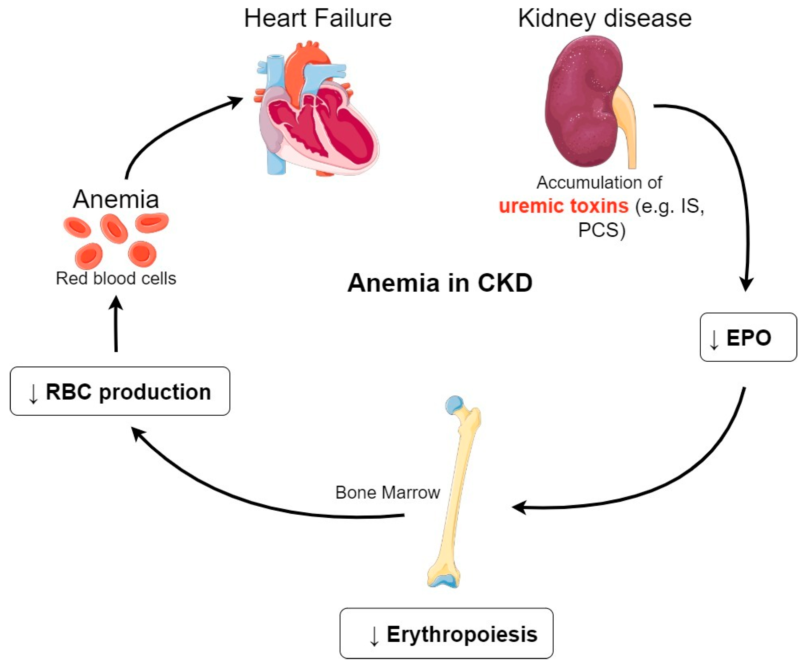 Cells Free Full Text Uremic Toxins Affect Erythropoiesis During The Course Of Chronic Kidney Disease A Review Html