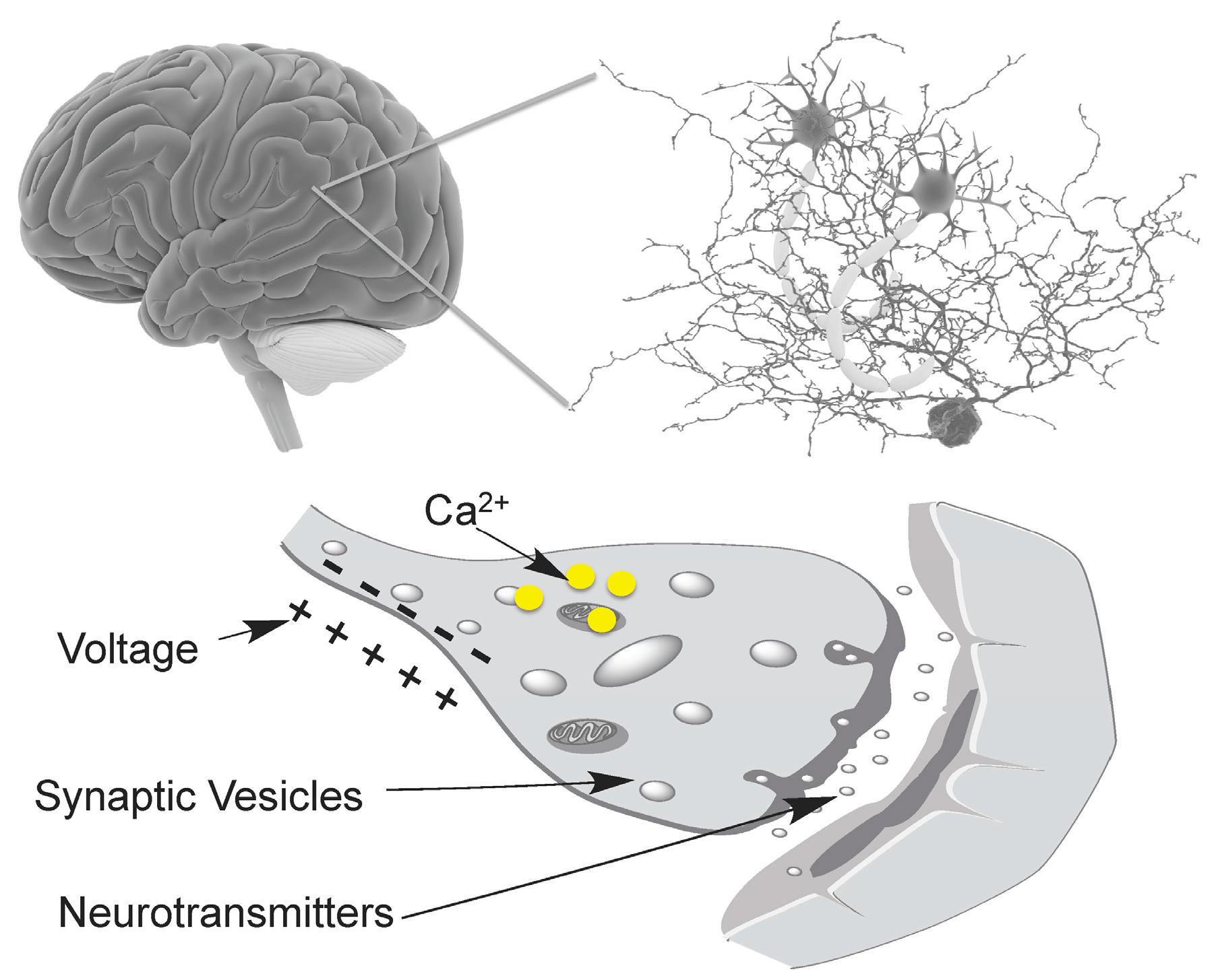 Chemosensors | Free Full-Text | Illuminating Brain Activities with ...