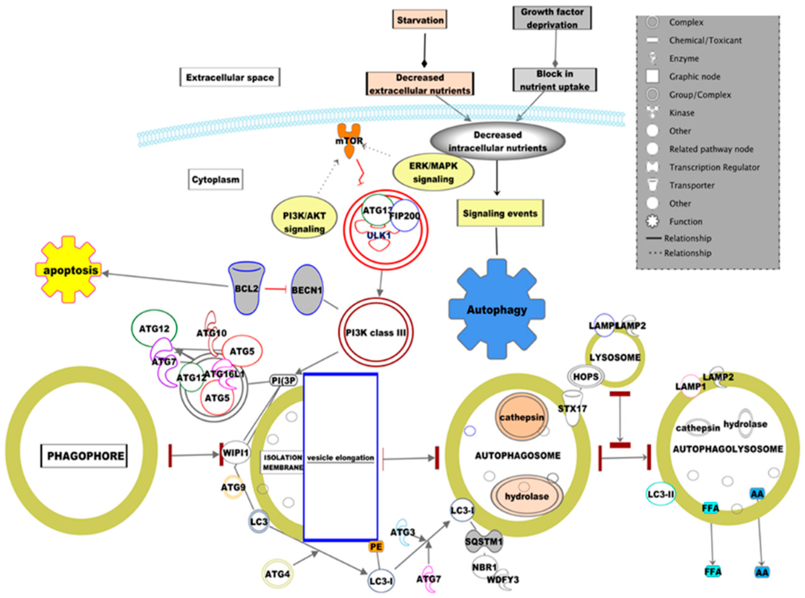 Diseases Free Full Text Autophagy Intertwines With Different