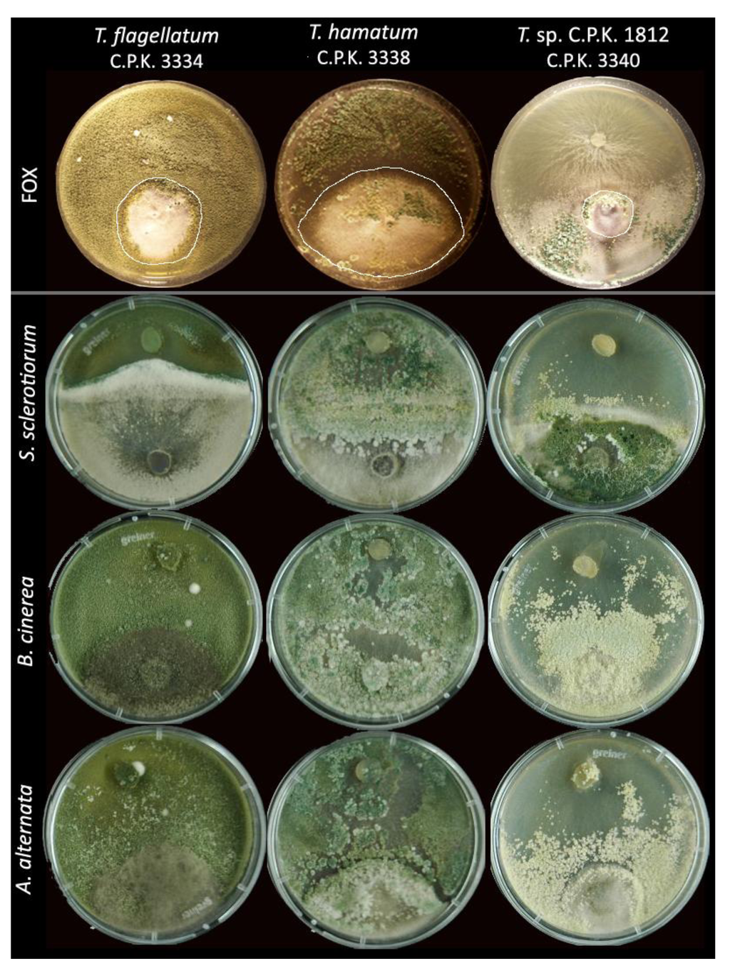 thesis on alternaria solani Pathogen biology the causal pathogen of early blight is the fungus alternaria solani there is no known sexual stage and hence it is classified as a deuteromycete.