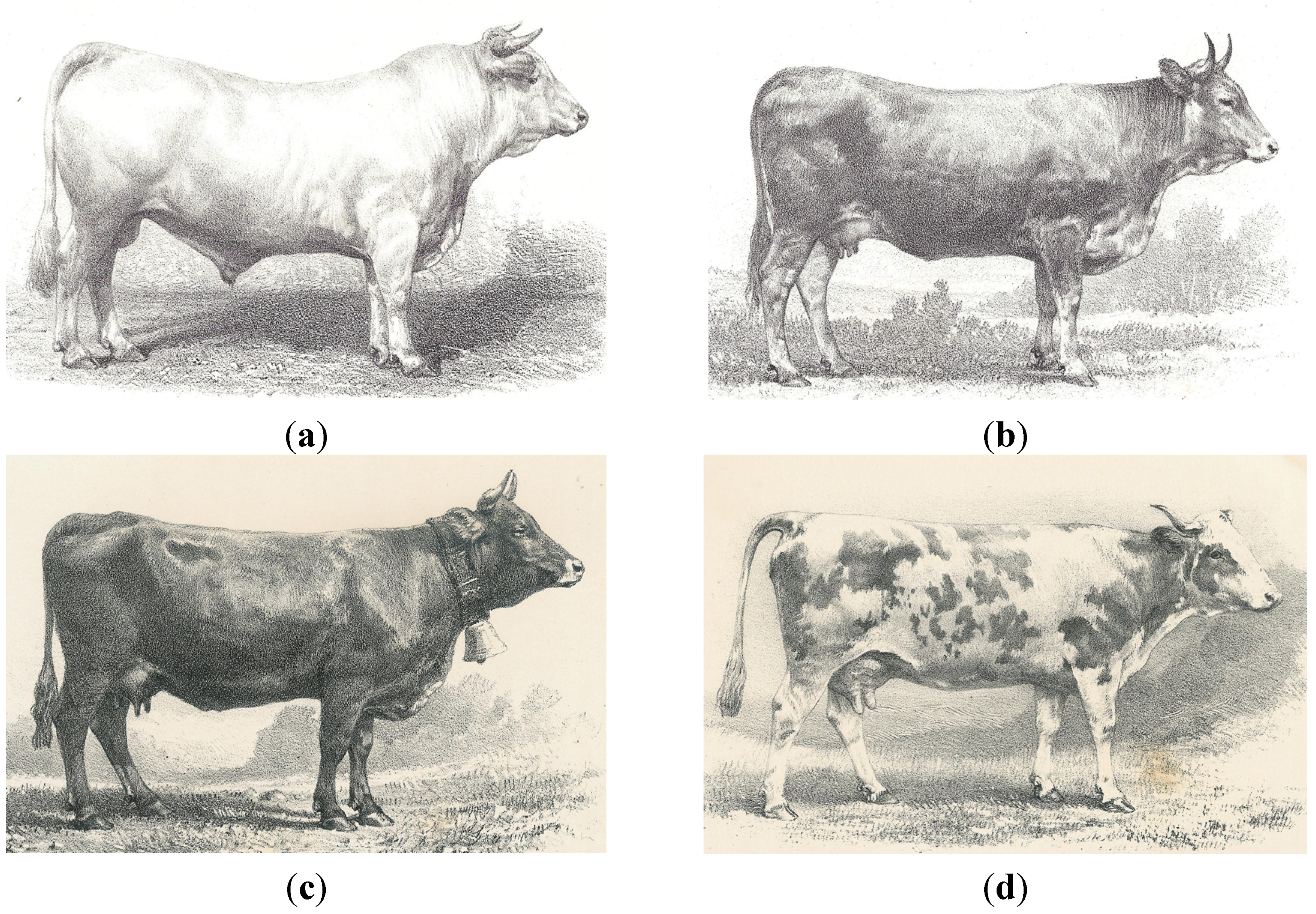 On The History Of Cattle