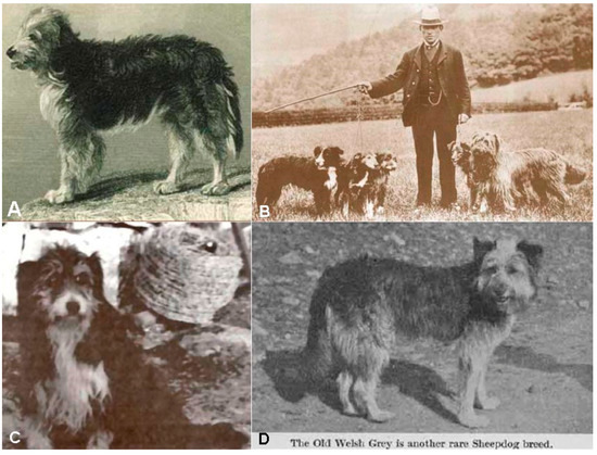Old Working Dog Beardie and Old Welsh Gray Dogs