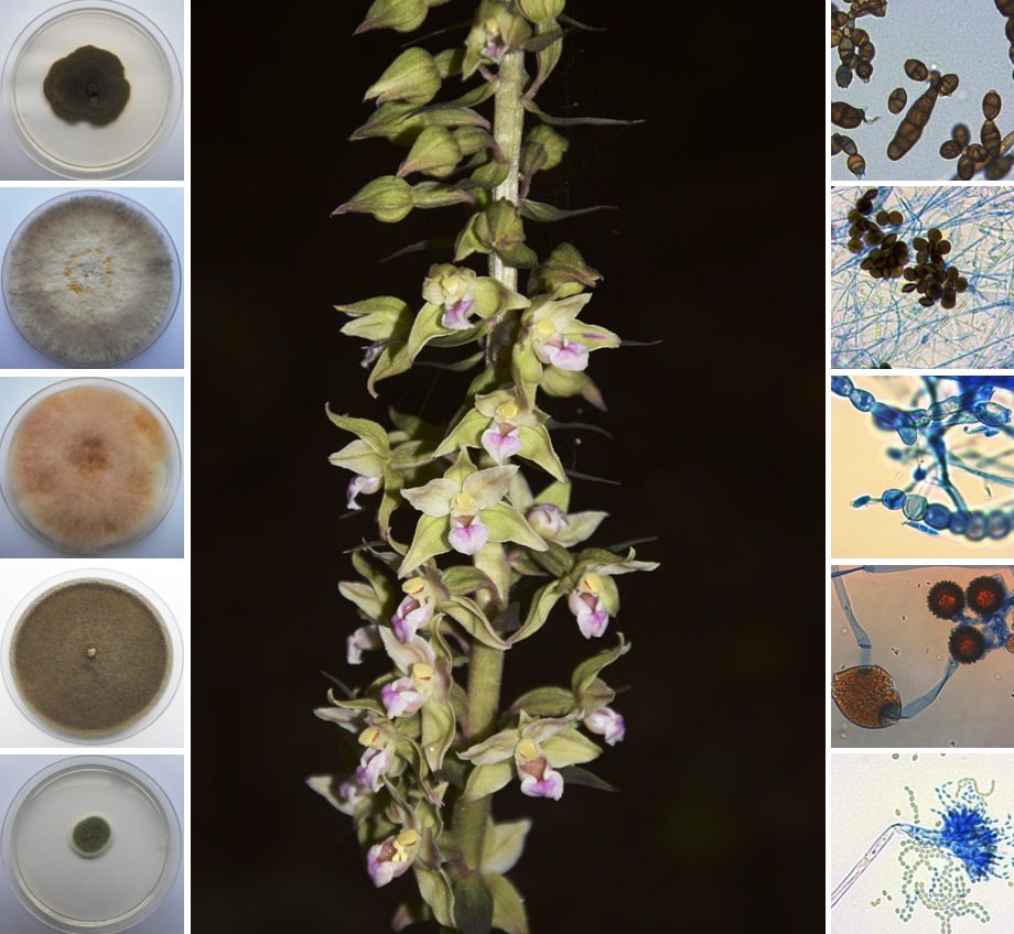 Diversity Free Full Text Species Diversity Of Micromycetes Associated With Epipactis Helleborine And Epipactis Purpurata Orchidaceae Neottieae In Southwestern Poland Html