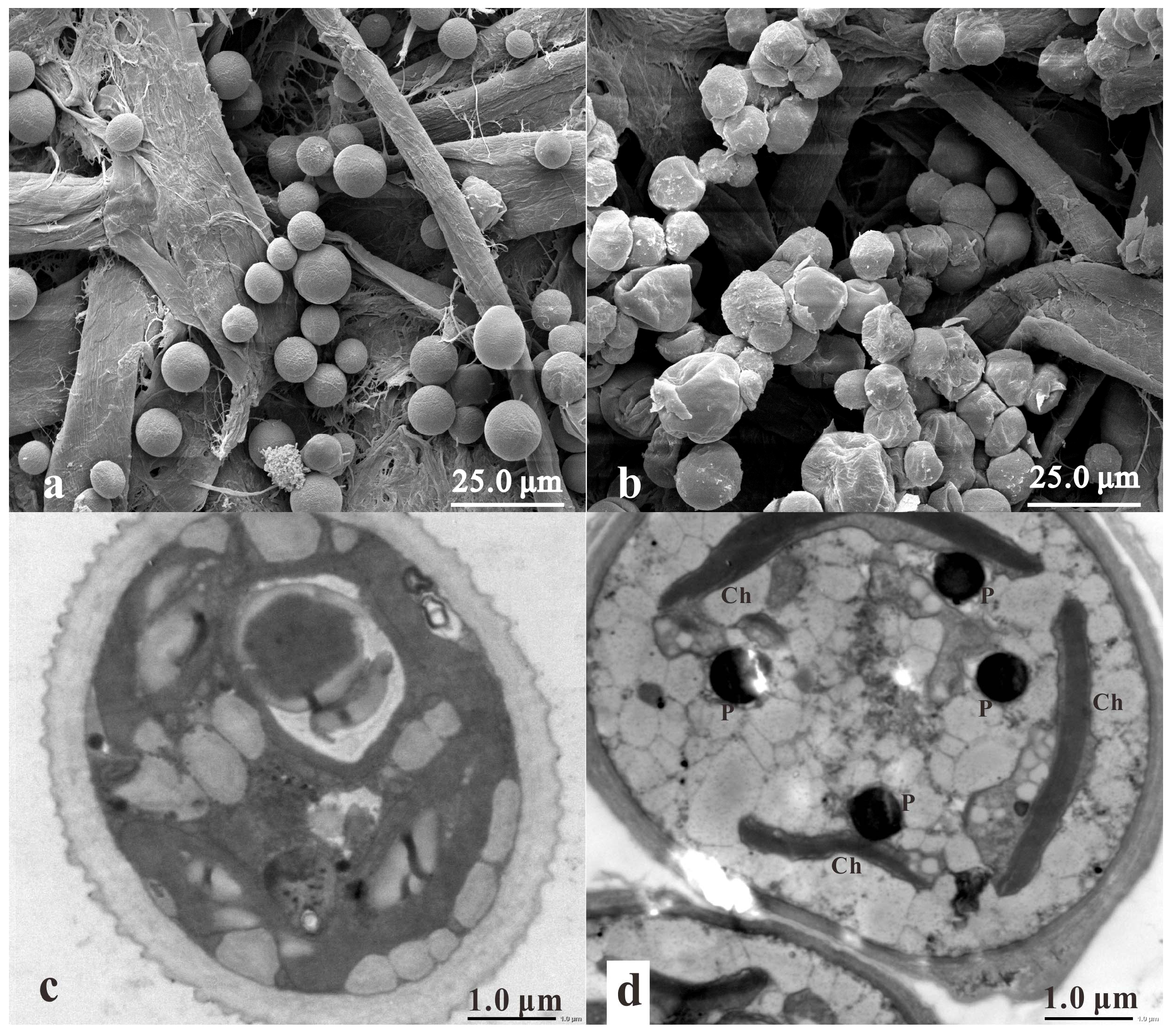 astaxanthin production in tobacco chloroplasts Metabolic engineering of astaxanthin production in tobacco flowers varda mann 1,  to both chloroplasts and chromoplasts and is   , astaxanthin production in ,.