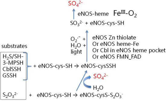 Is Endothelial Nitric Oxide Synthase a Moonlighting Protein Whose Day Job is Cholesterol Sulfate Synthesis Implications for Cholesterol Transport, Diabetes and Cardiovascular Disease†