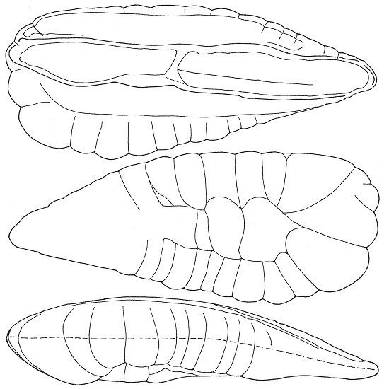 Taxonomy, Distribution and Evolution of Trisopterine Gadidae by Means of Otoliths and Other Characteristics