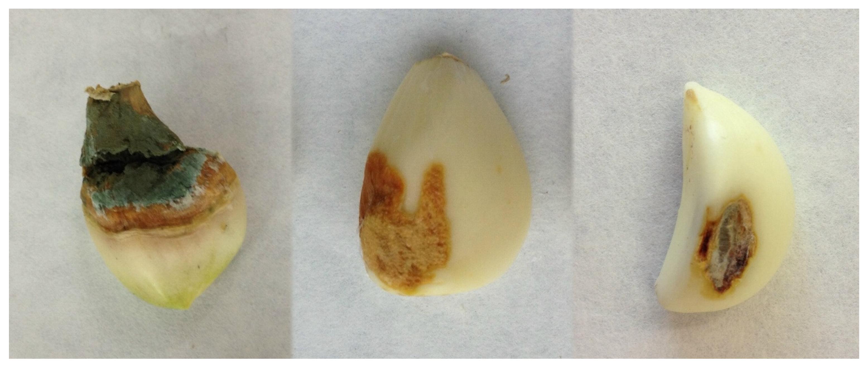 garlic mycotoxins