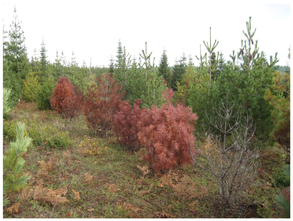 forests  full text genetic resistance  fusiform rust  southern pines  white pine