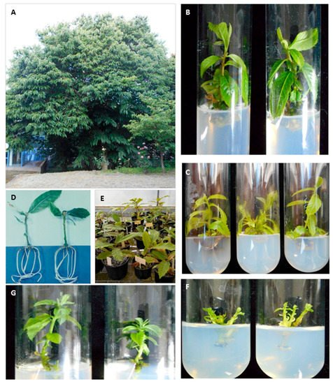 Forests | Special Issue : The Role of Plant Tissue Culture
