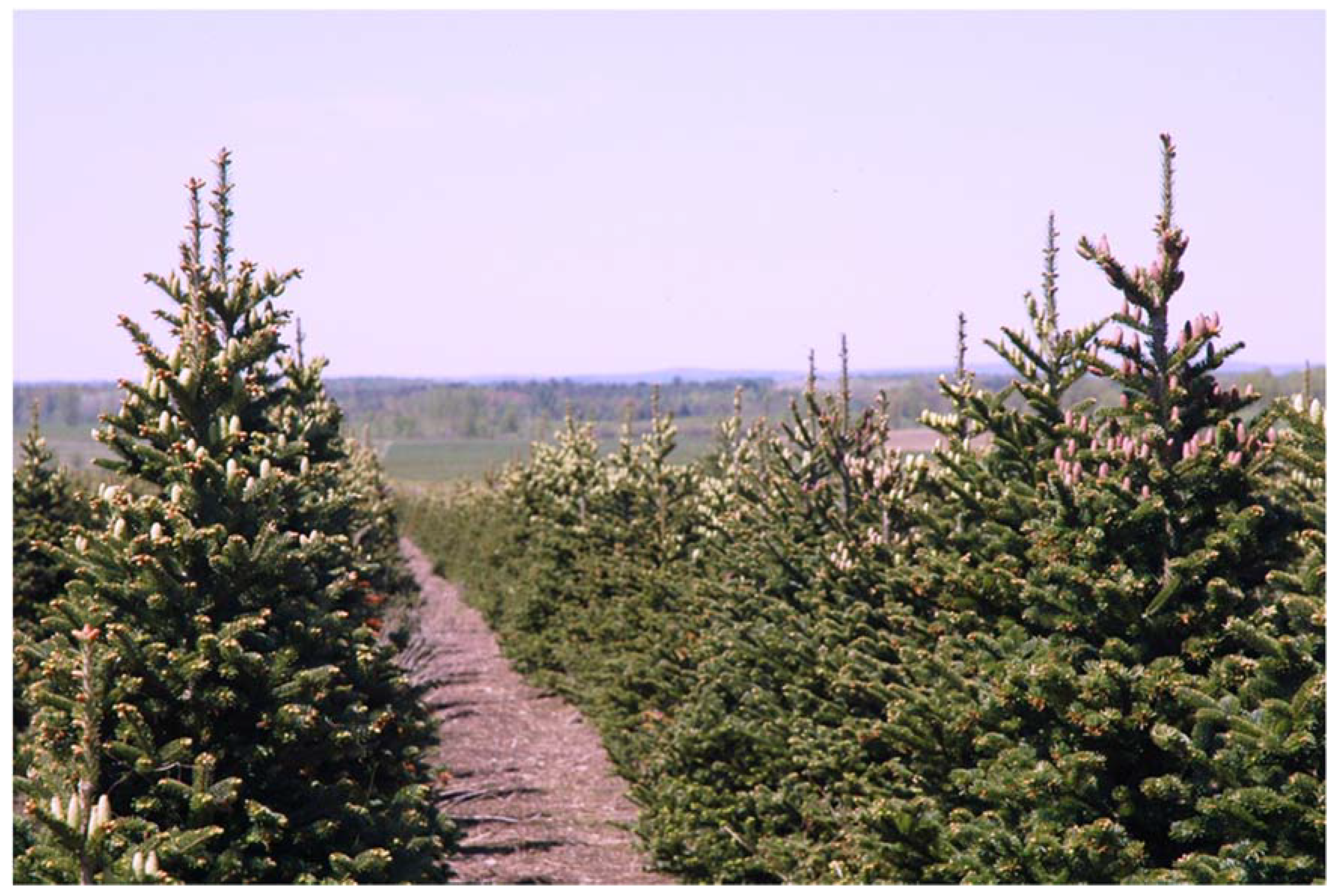 Fraser Fir Christmas Trees.Forests Free Full Text Post Emergent Control Of Nuisance