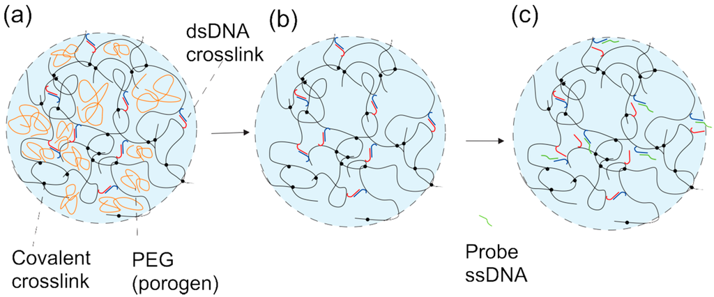 Gels   Free FullText   Swelling Dynamics of a DNAPolymer