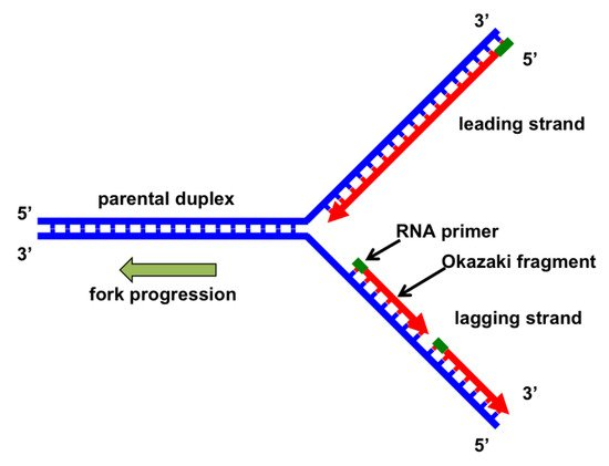 Genes Free Full Text The Replication Fork Understanding The Eukaryotic Replication Machinery And The Challenges To Genome Duplication Html