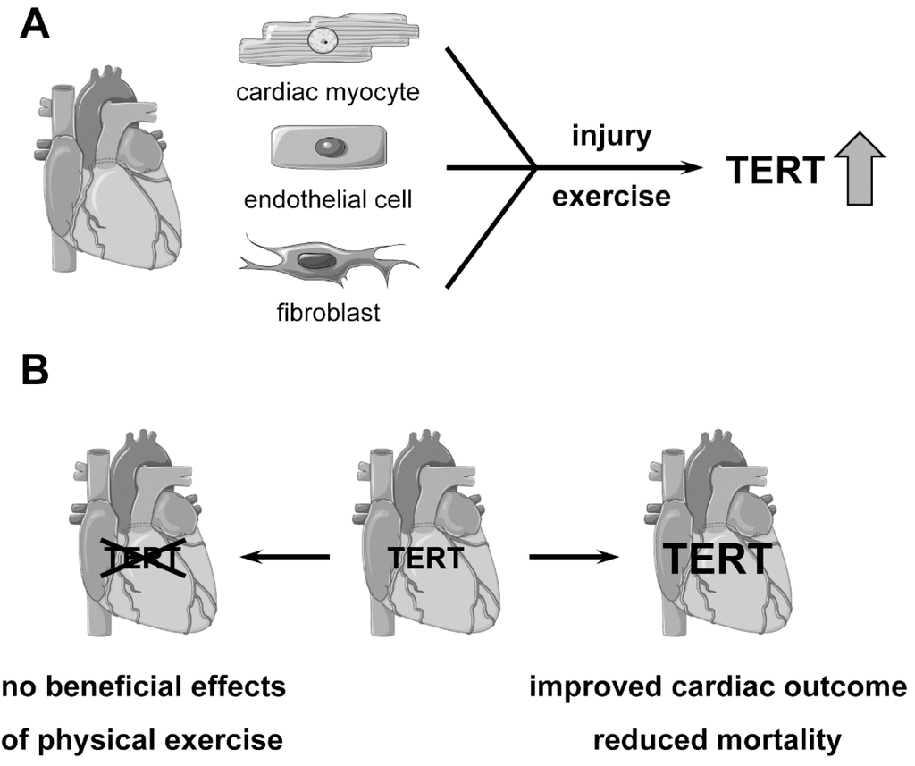 Genes | Special Issue : Telomerase Activity in Human Cells