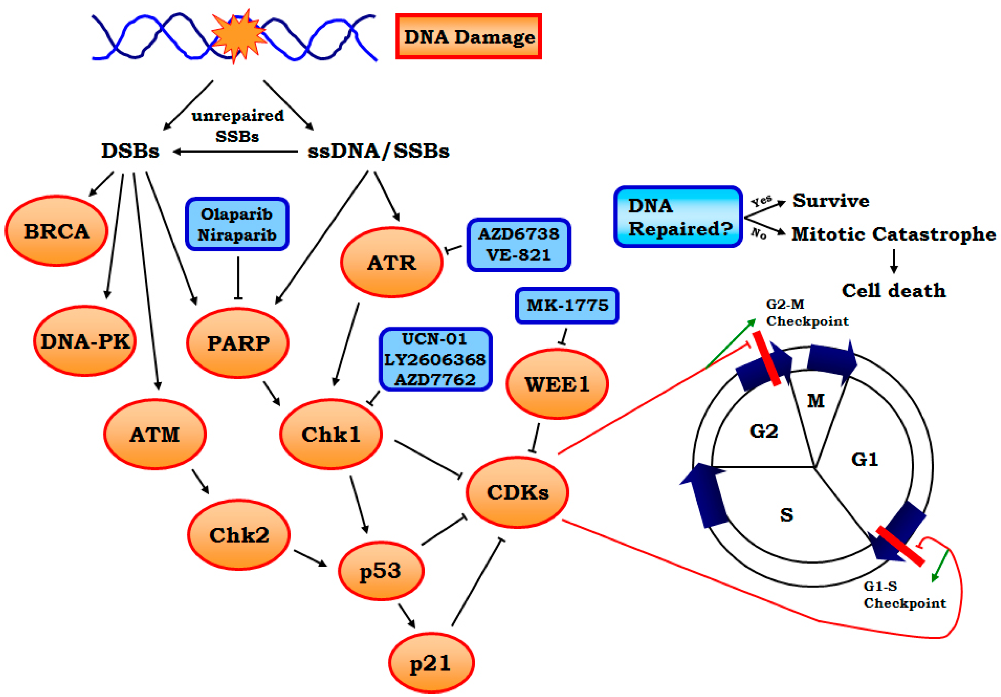 Genes free full text targeting dna replication stress for no pooptronica