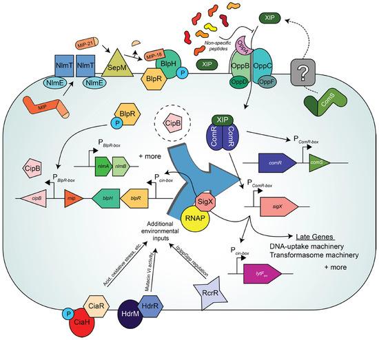 gene regulation in bacteria pdf