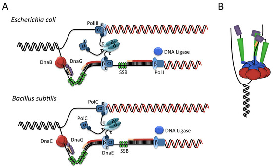 Genes Free Full Text Control Of Initiation Of Dna Replication In