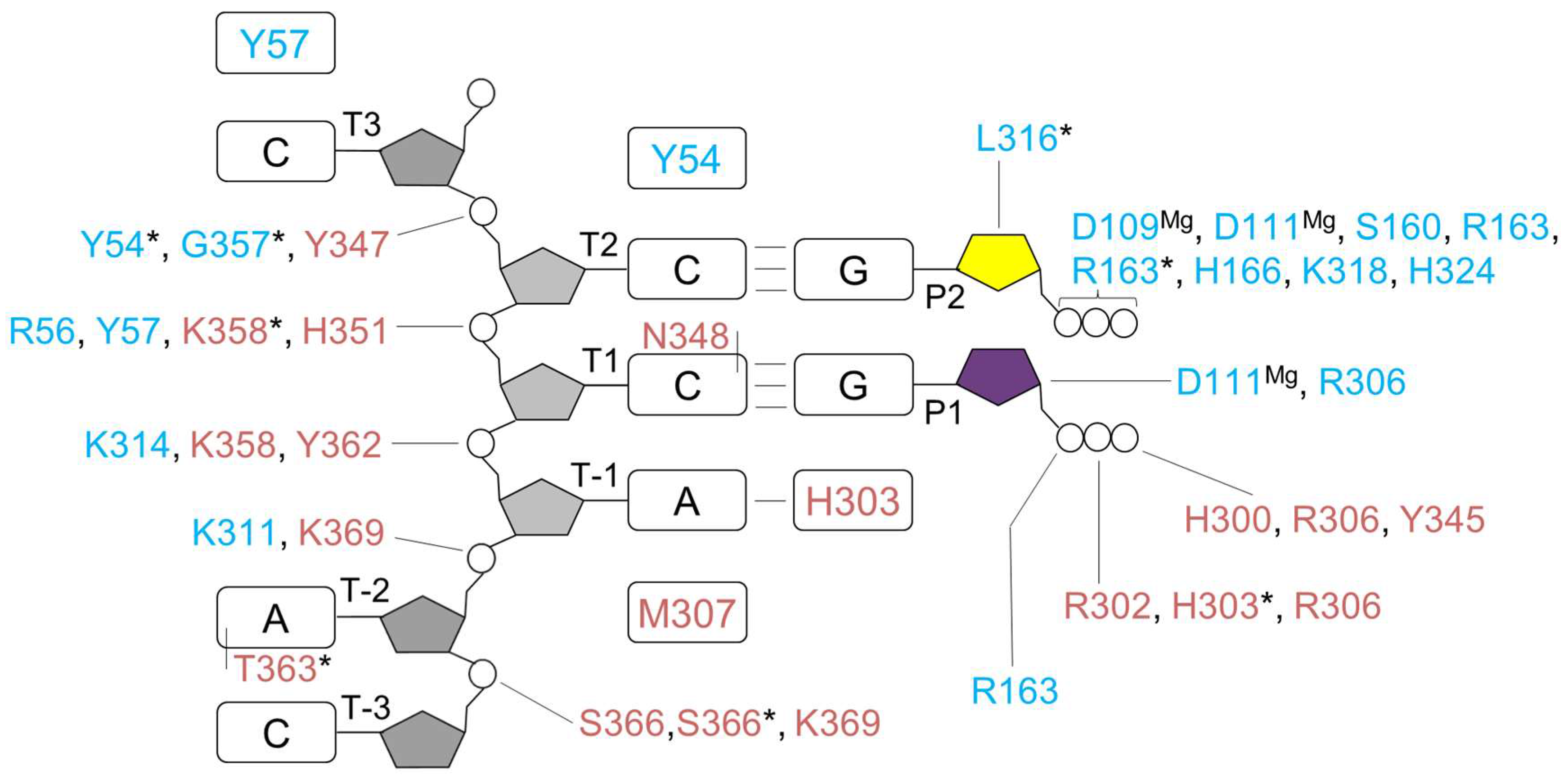 Genes | Free Full-Text | Elaborated Action of the Human Primosome