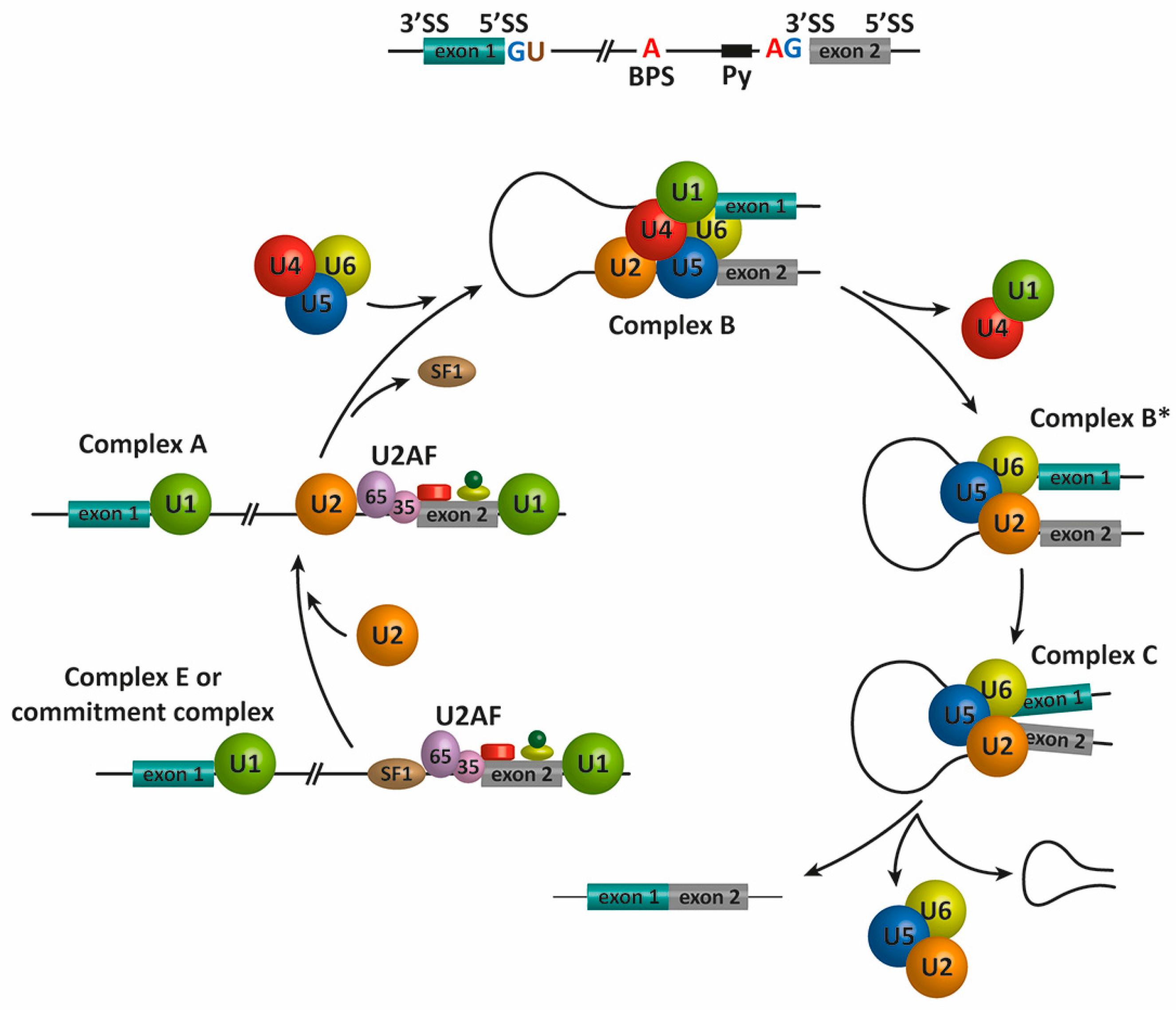 Genes 08 00087 g001