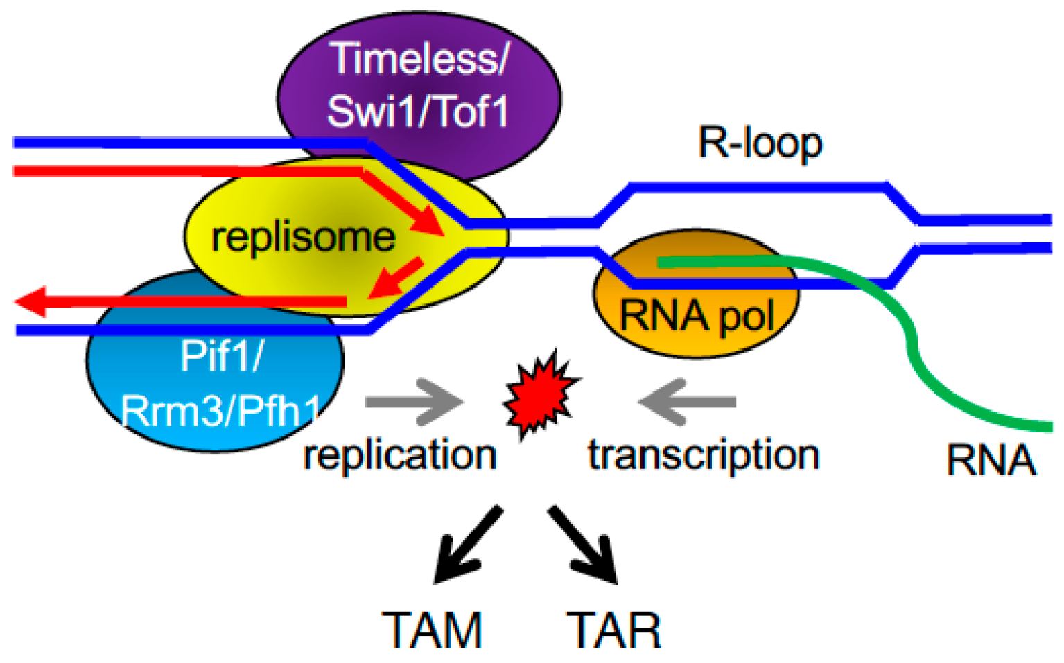 Genes free full text regulation of dna replication through no pooptronica