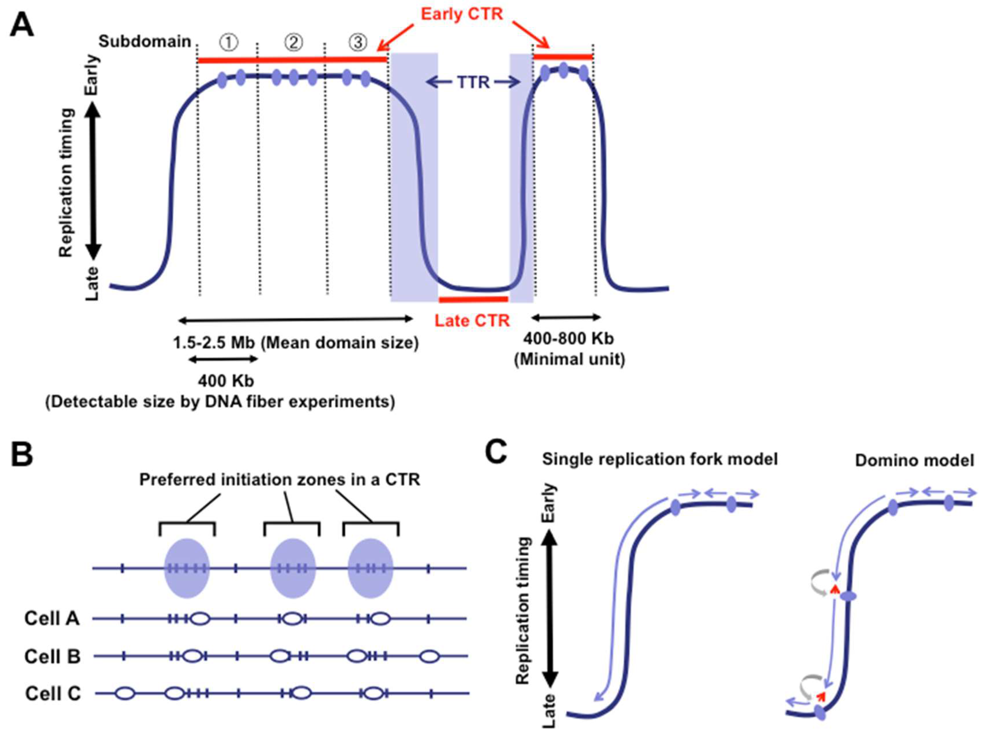 Genes | Free Full-Text | Anatomy of Mammalian Replication Domains