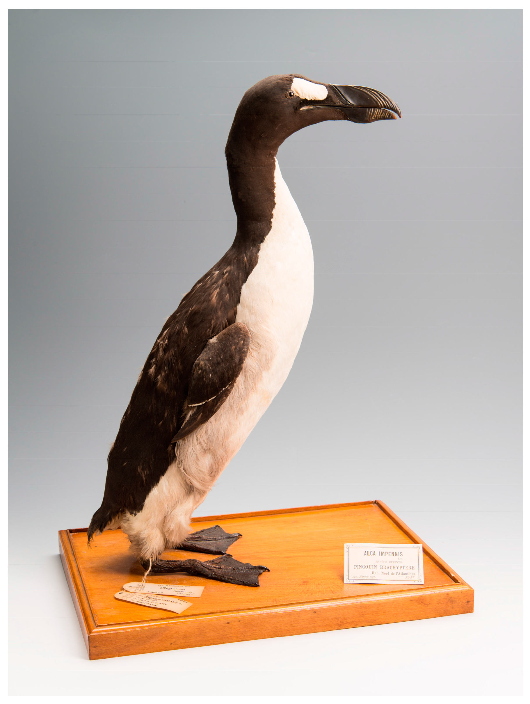 A mounted Creat Auk akin, The Brussels Auk (RBINS 5355) (MK135), from the collections at Royal Belgian Institute of Natural Sciences (Credit Thierry Hubin (RBINS)).