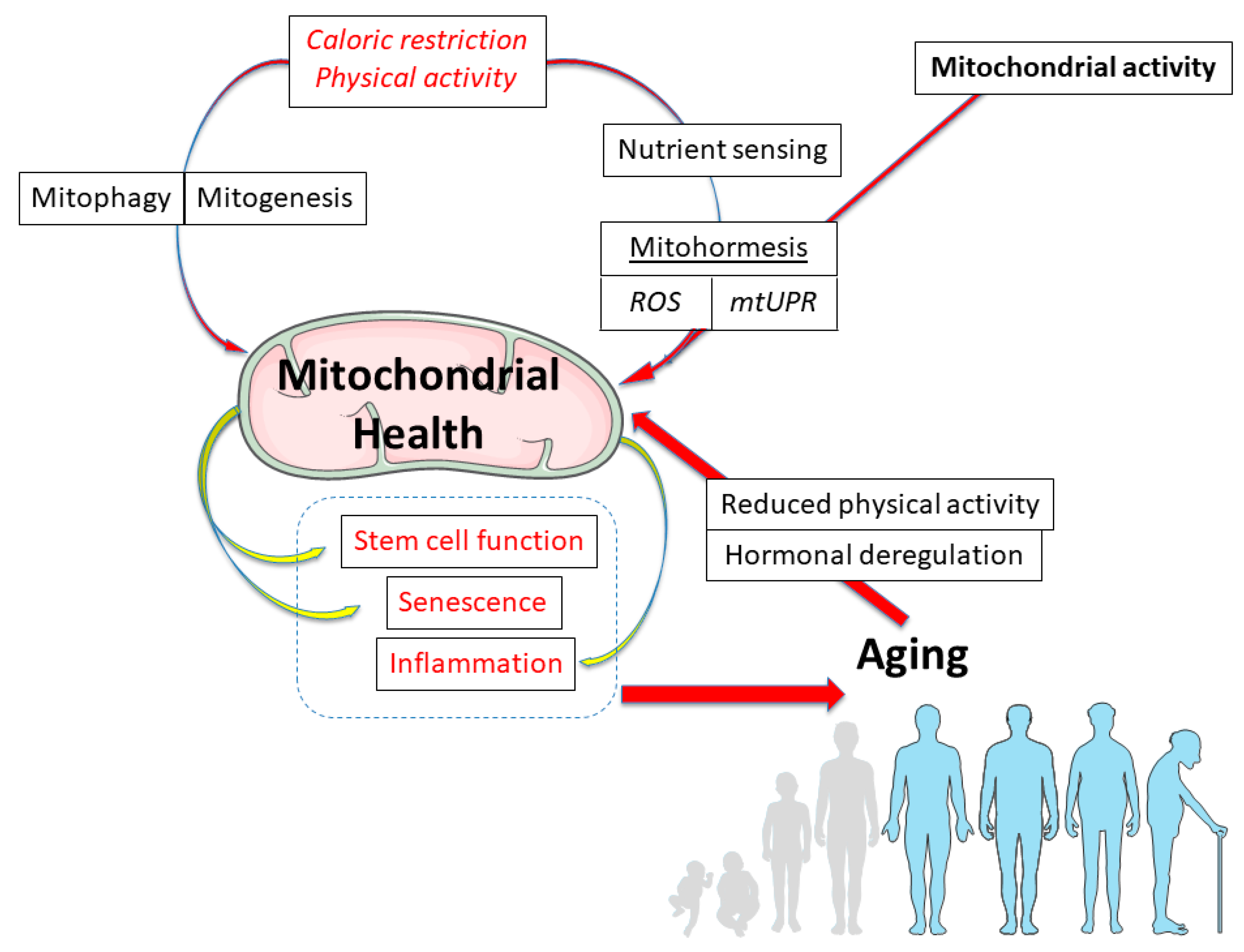 Genes free full text the aging mitochondria no ccuart Choice Image