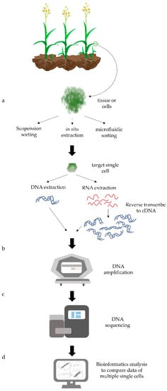 Genes | Free Full-Text | Single-Cell Genomic Analysis in Plants