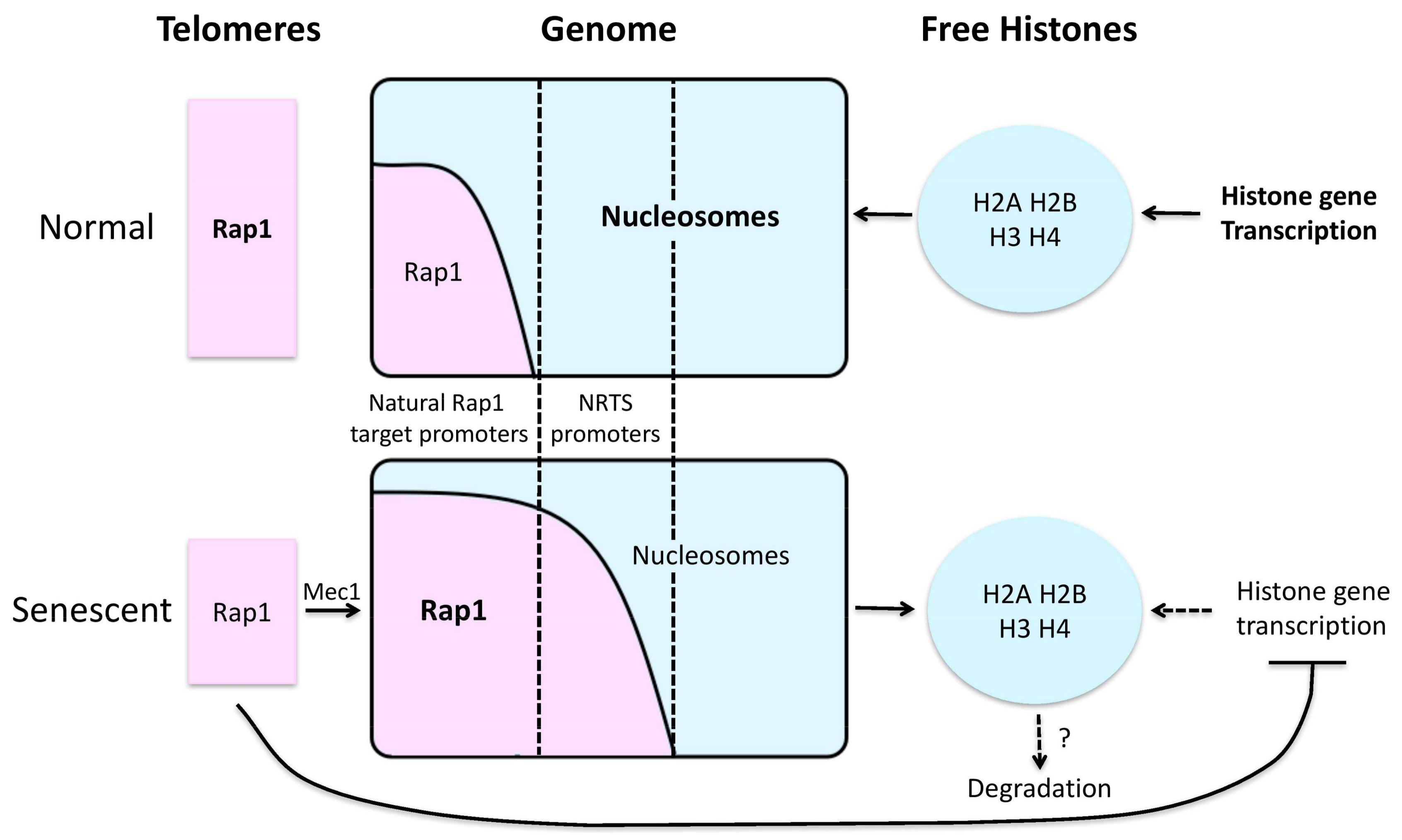 Genes | Free Full-Text | Epigenetic Mechanisms Impacting Aging: A ...