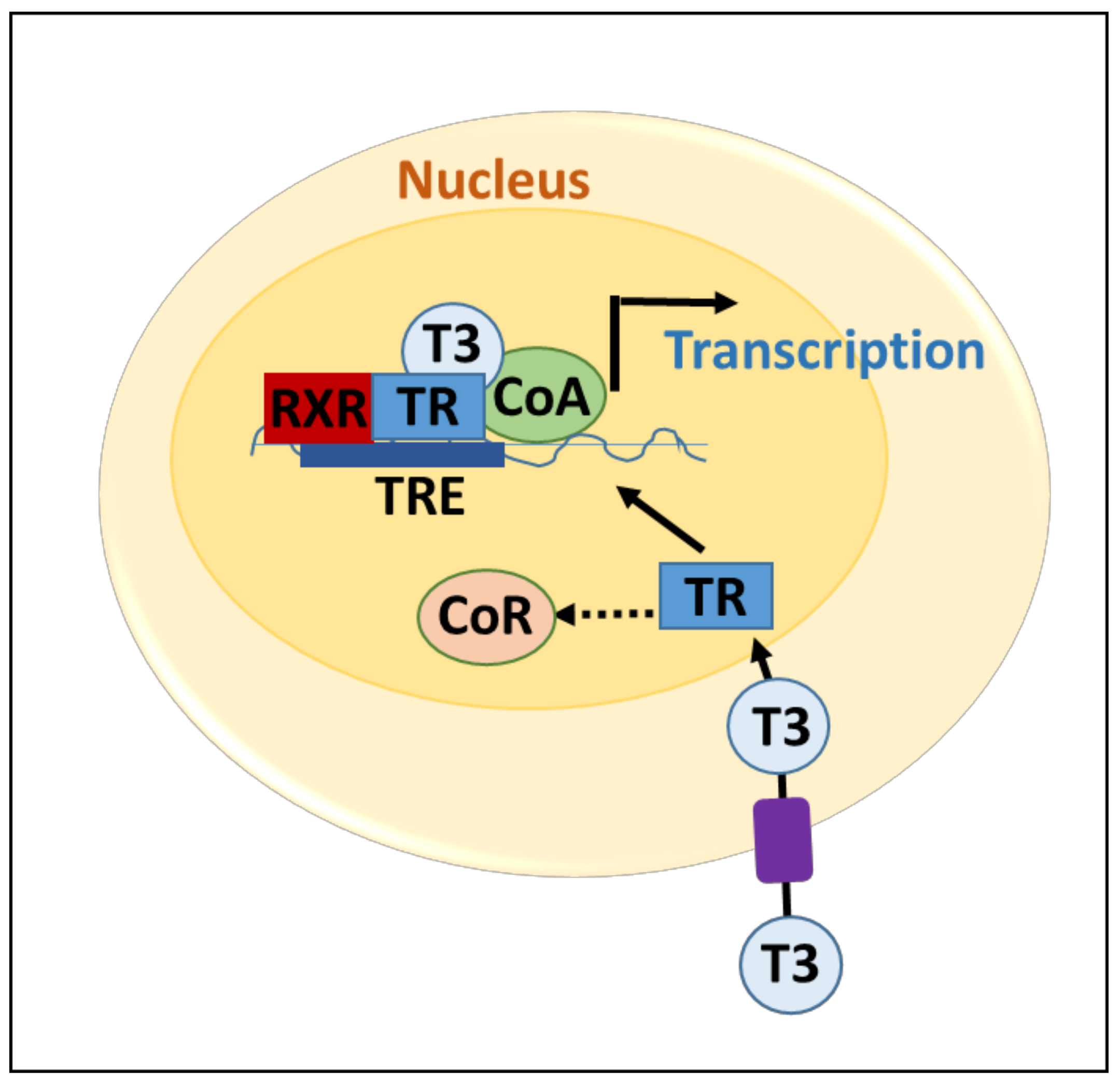 Genes Free Full Text Wnt Signaling In Thyroid Homeostasis And