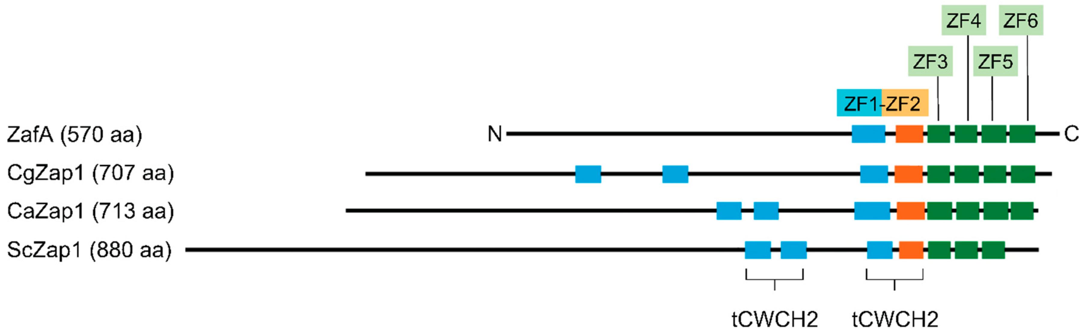 Genes   Free Full-Text   The Transcription Factor ZafA Regulates the