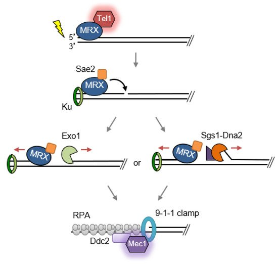 Genes | Special Issue : Chromosome Replication and Genome Integrity