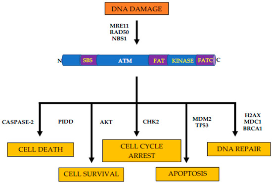Genes Free Full Text Atm Serine Threonine Kinase And Its Role In Pancreatic Risk Html