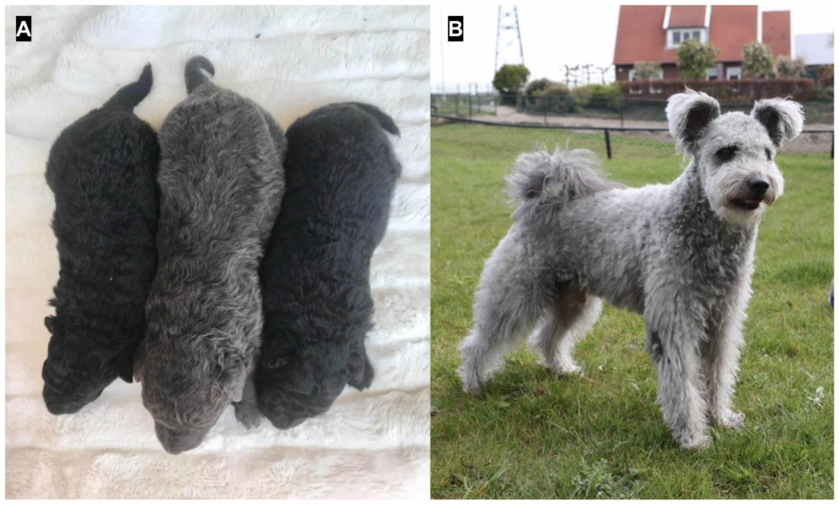 Genes Free Full Text A Third Mlph Variant Causing Coat Color Dilution In Dogs Html