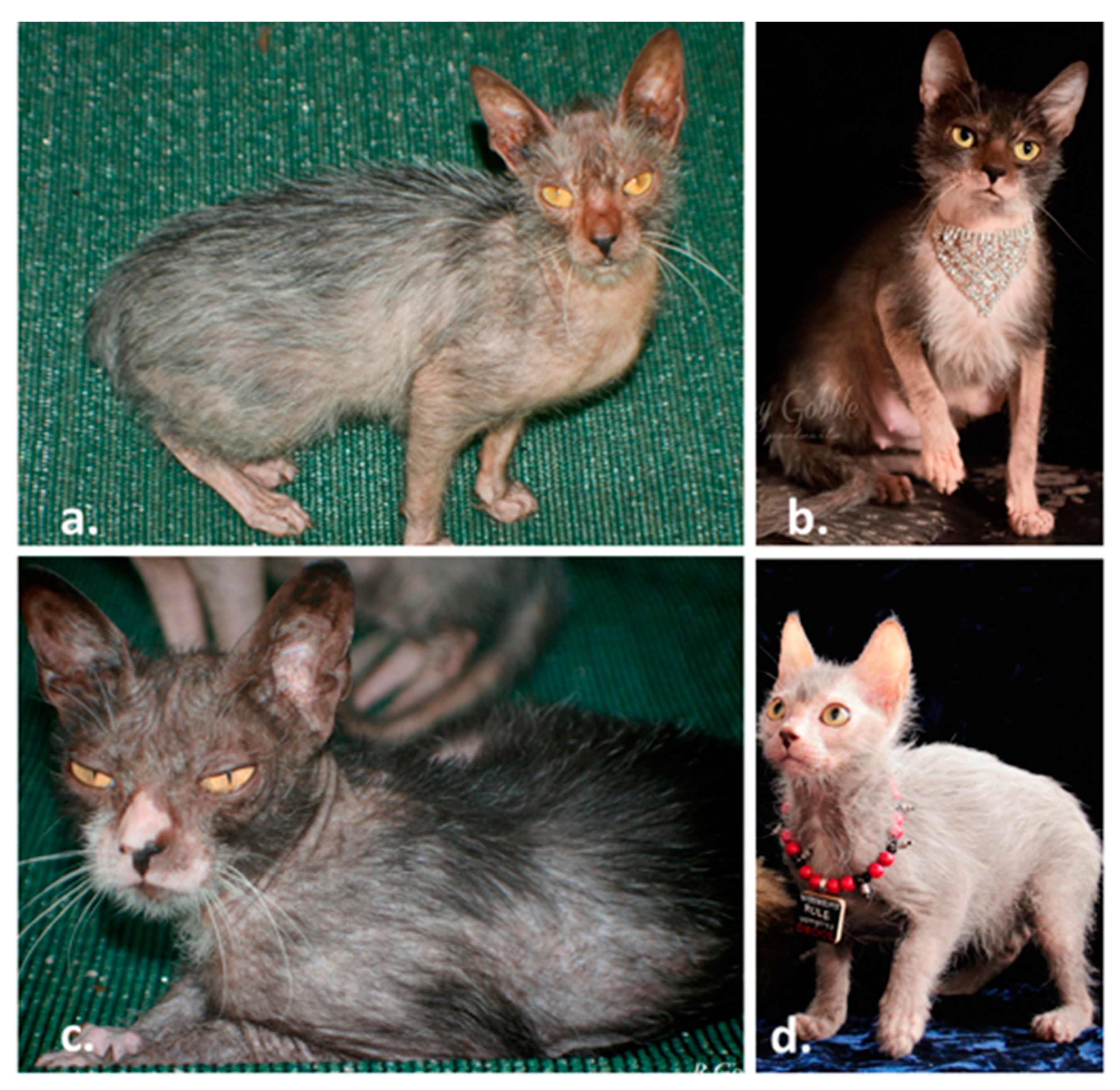 Genes Free Full Text Werewolf There Wolf Variants In Hairless Associated With Hypotrichia And Roaning In The Lykoi Cat Breed