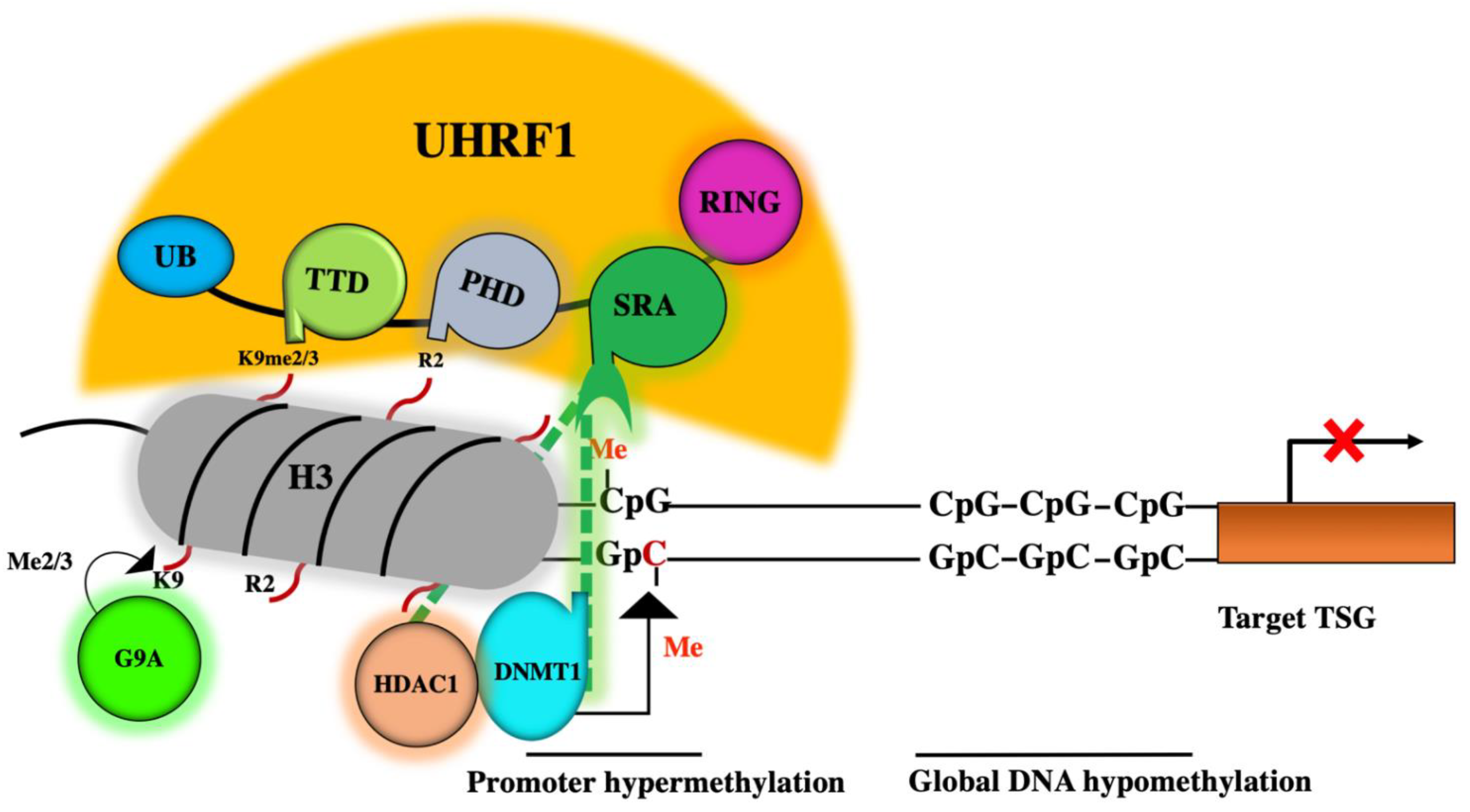 Genes Free Full Text Thymoquinone Is A Multitarget Single Epidrug That Inhibits The Uhrf1 Protein Complex Html