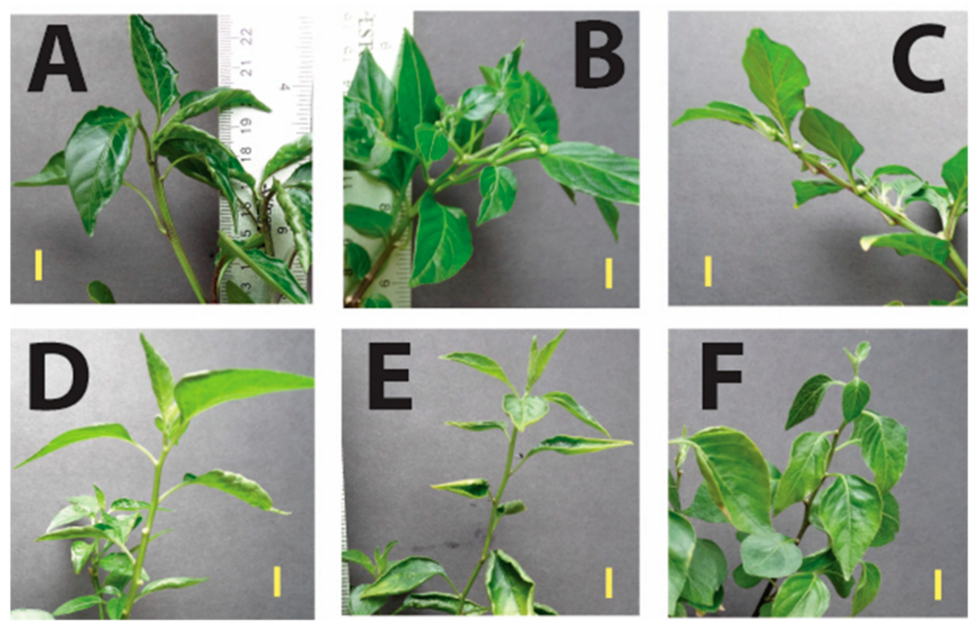 Horticulturae Free Full Text Aeroponic Cloning Of Capsicum Spp Html