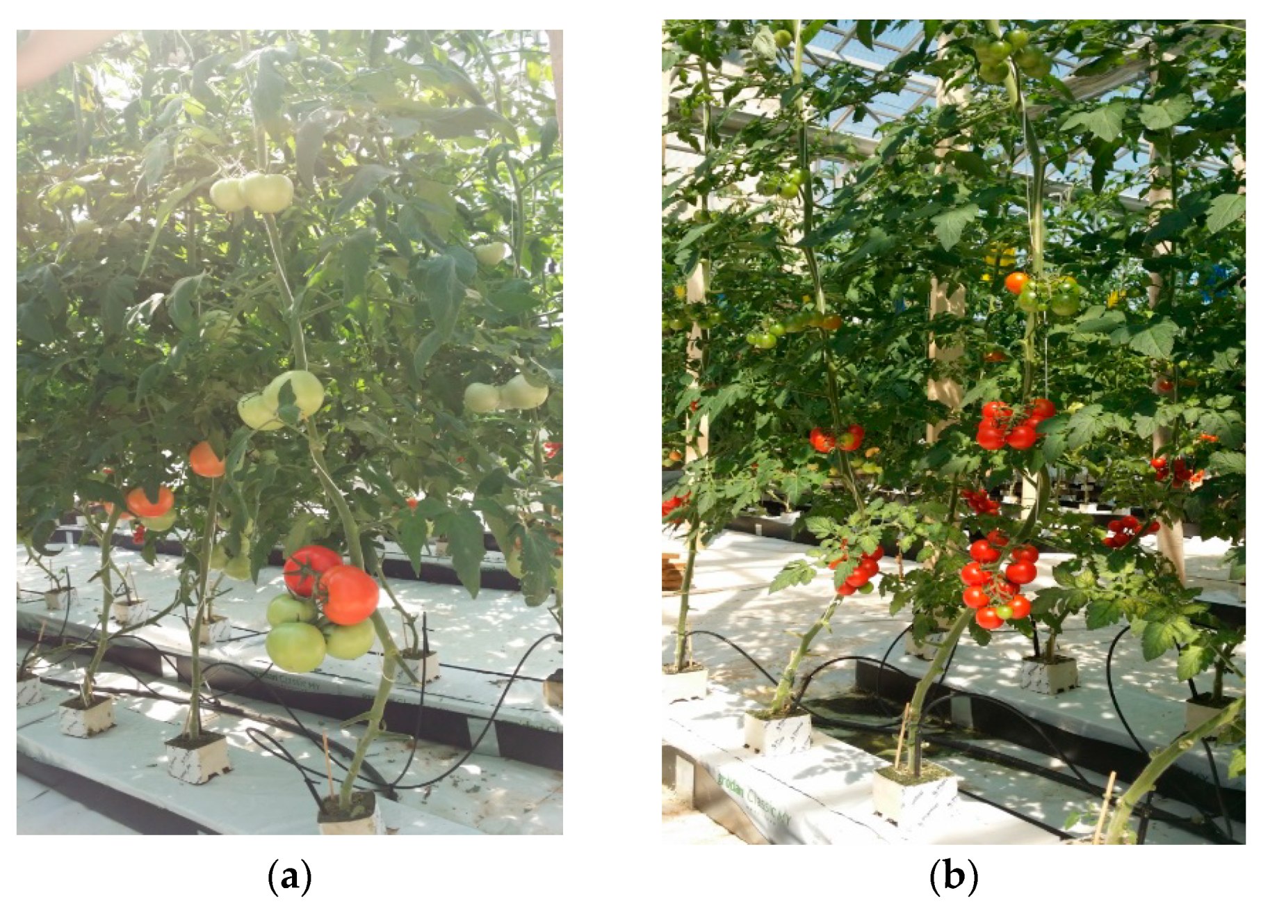 Horticulturae | Free Full-Text | Performance and Hydroponic Tomato