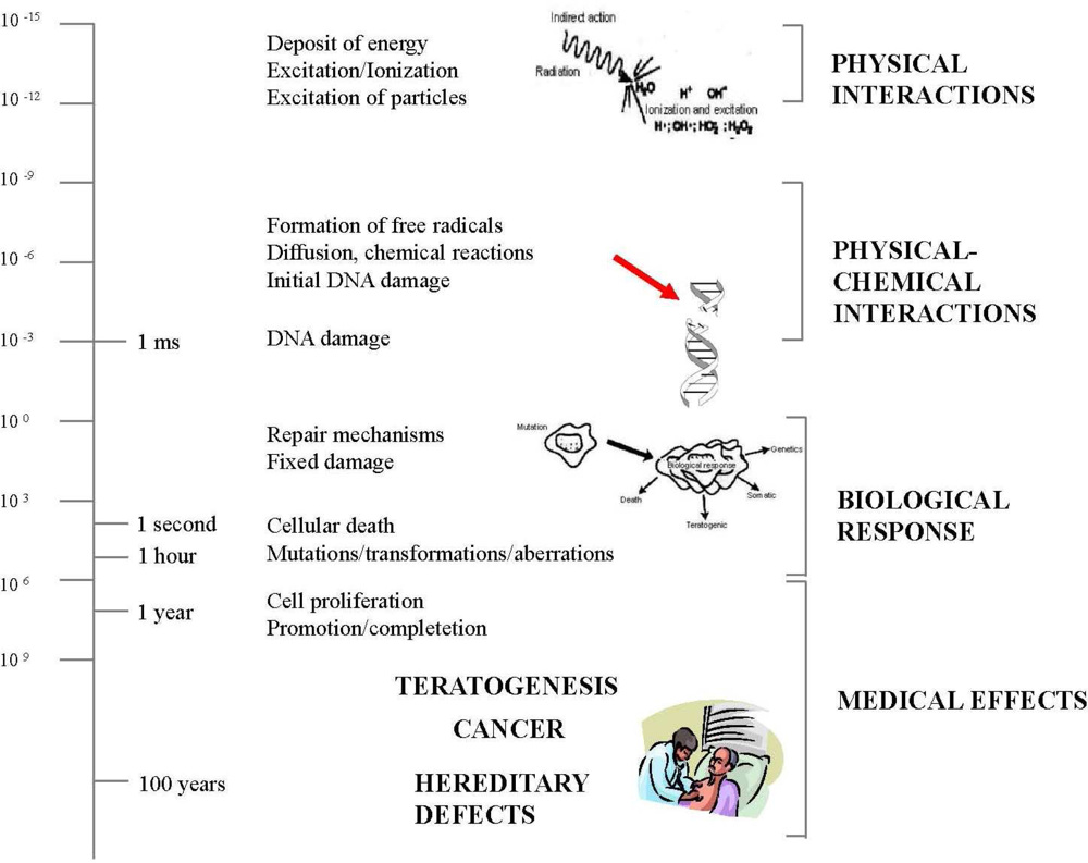 biological effect of radiation When talking about biological effects from ionizing radiation there are two categories of injury: somatic injury and genetic injury somatic injury is damage that occurs to the organism exposed to high levels of ionizing radiation and does not include reproductive cells.
