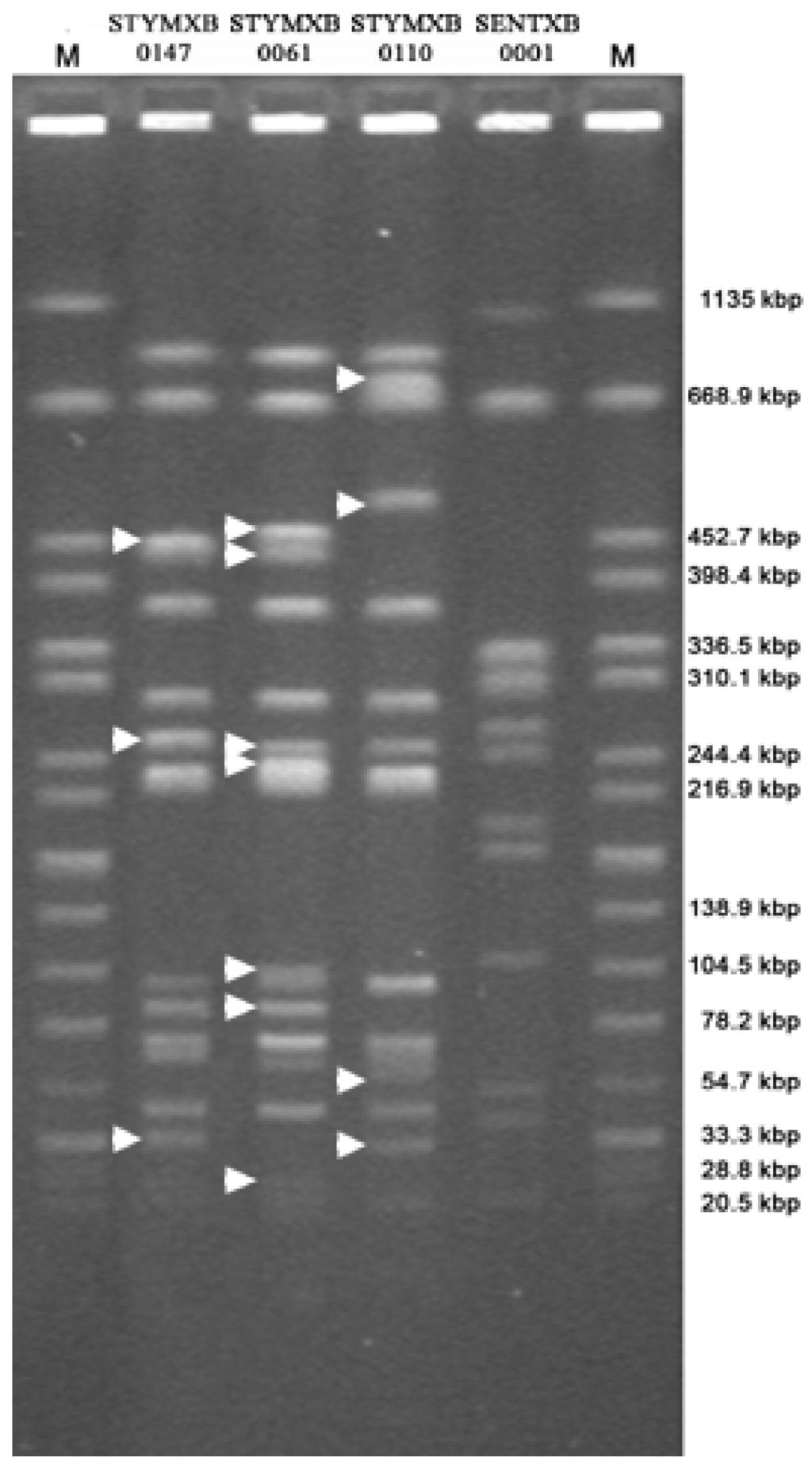 pulsed field gel electrophoresis pdf
