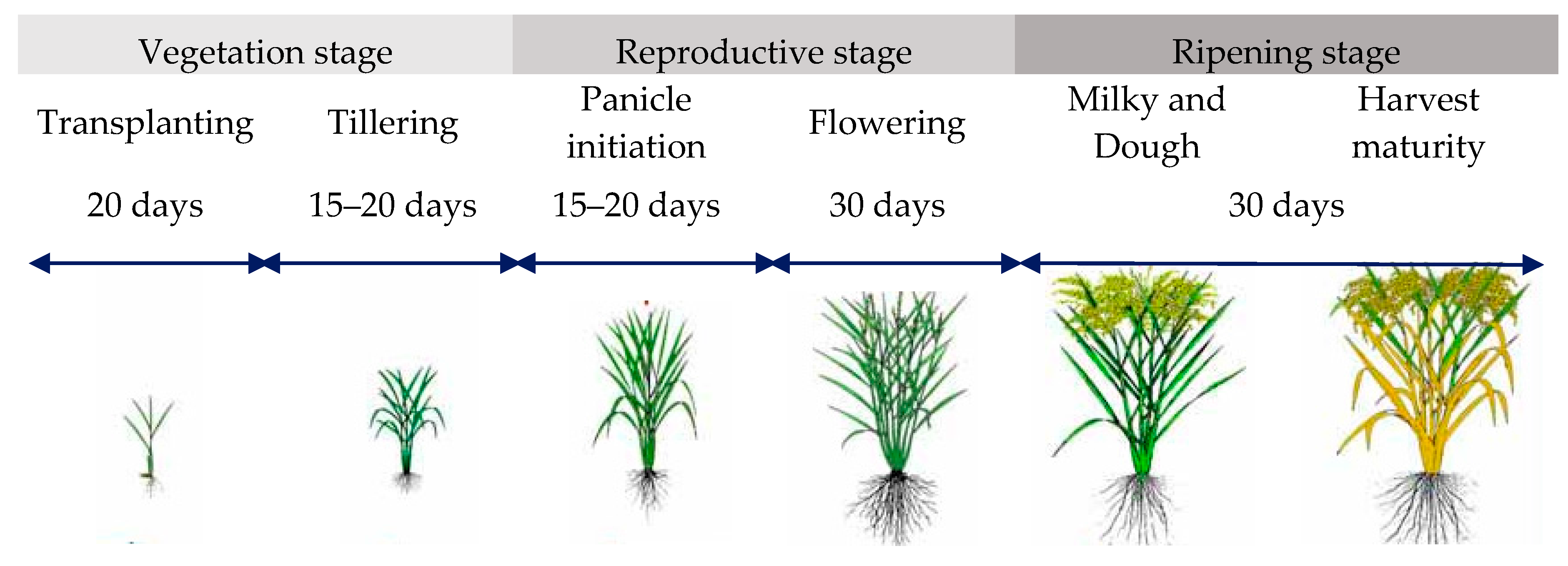 growth stages of a rice plant Insect pests attack all portions of the rice plant and all stages of plant growth feeding guilds consist of the (1) root feeders, (2) stem borers, (3) leafhoppers and planthoppers, (4.