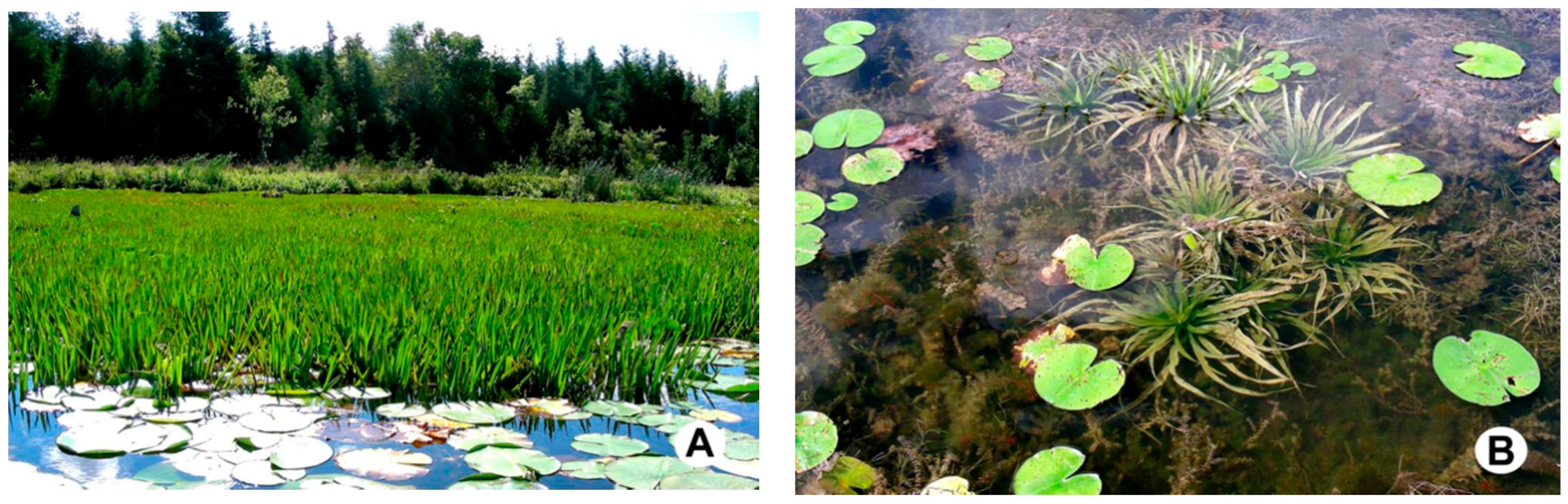 3 x Iris Ann Chowing Early Bird Season Deals Live Water Plant Aquatic Pond Lake Marginal