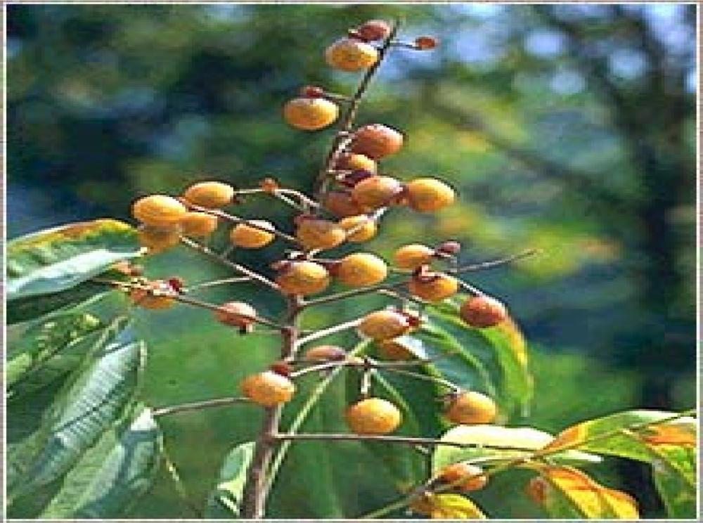 extraction of jathropa curcas seed fats and oil and identification essay Free sample oil term paper on extraction of jathropa curcas seed fats and oil and identification.